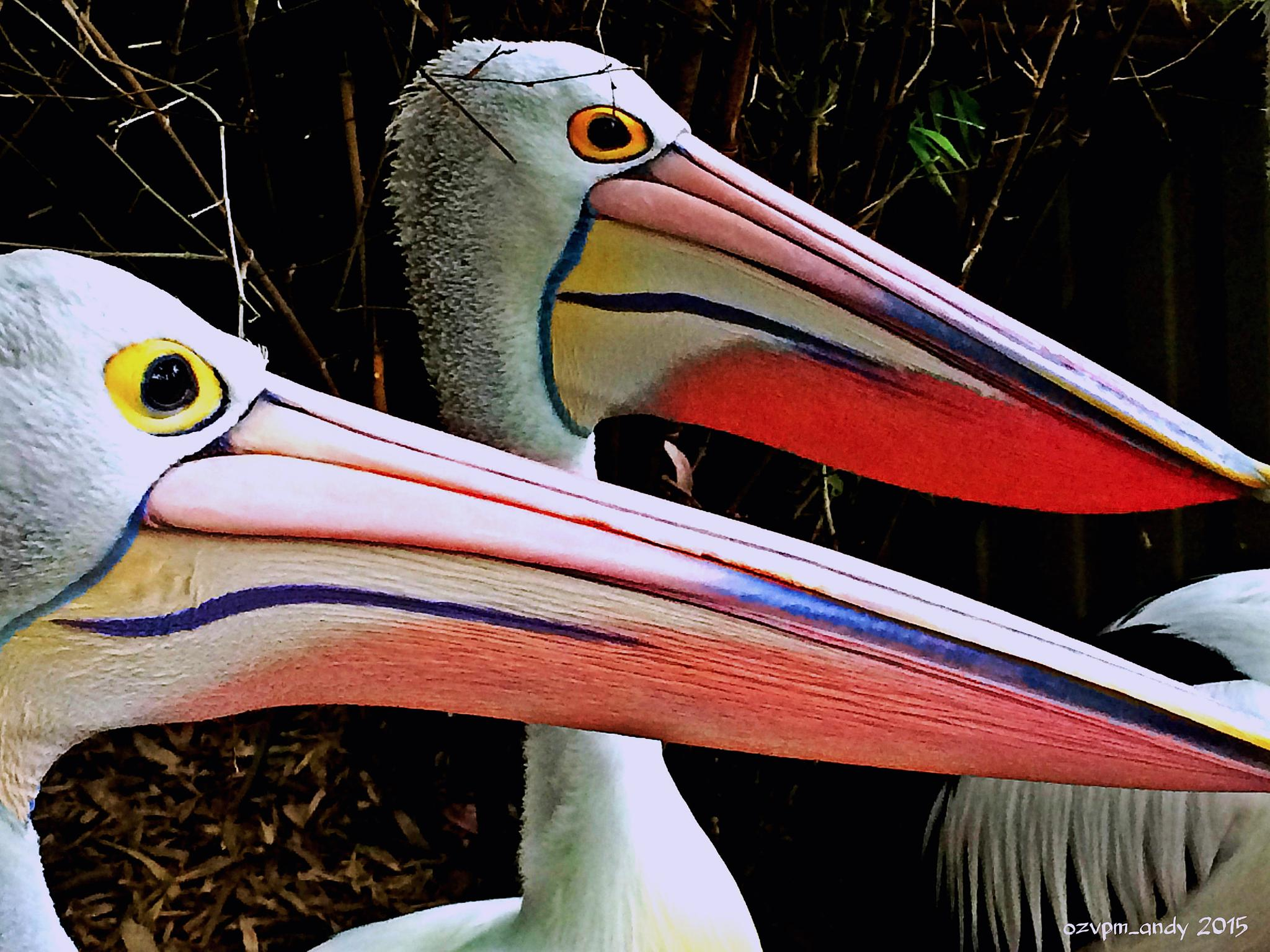 Pair of Pelicans by Andy Fryar