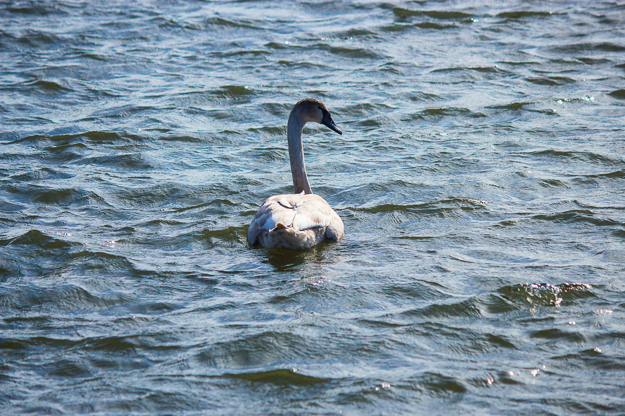 Young Swan by Carl Hult