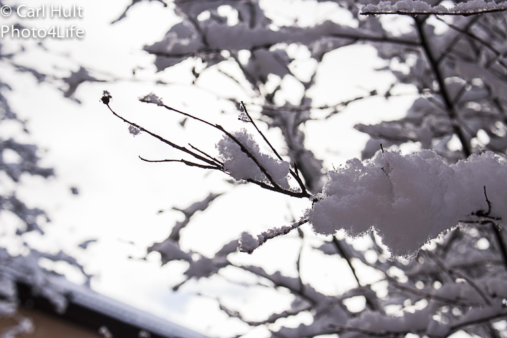 Snowy bush by Carl Hult
