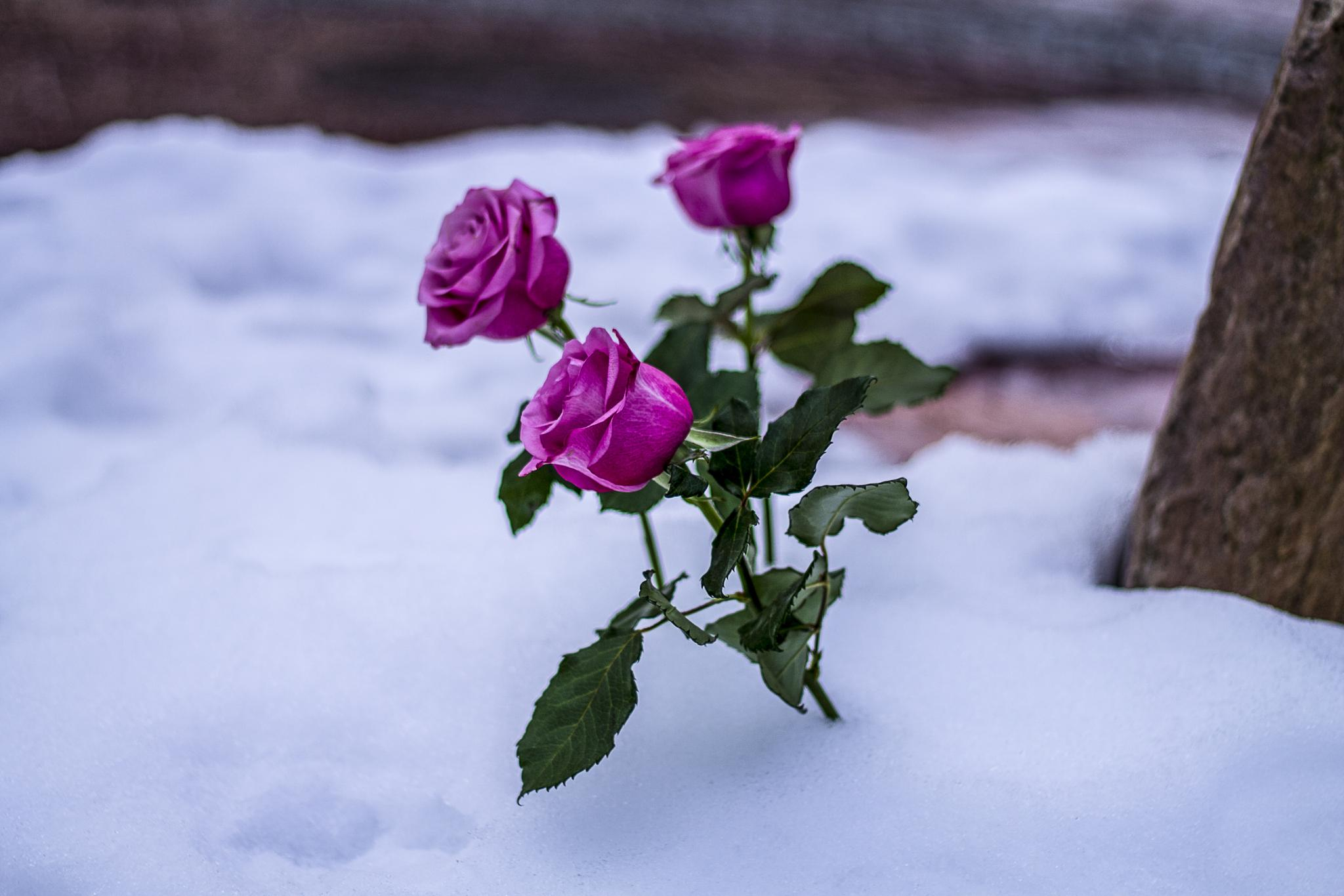 Roses in the snow by Carl Hult