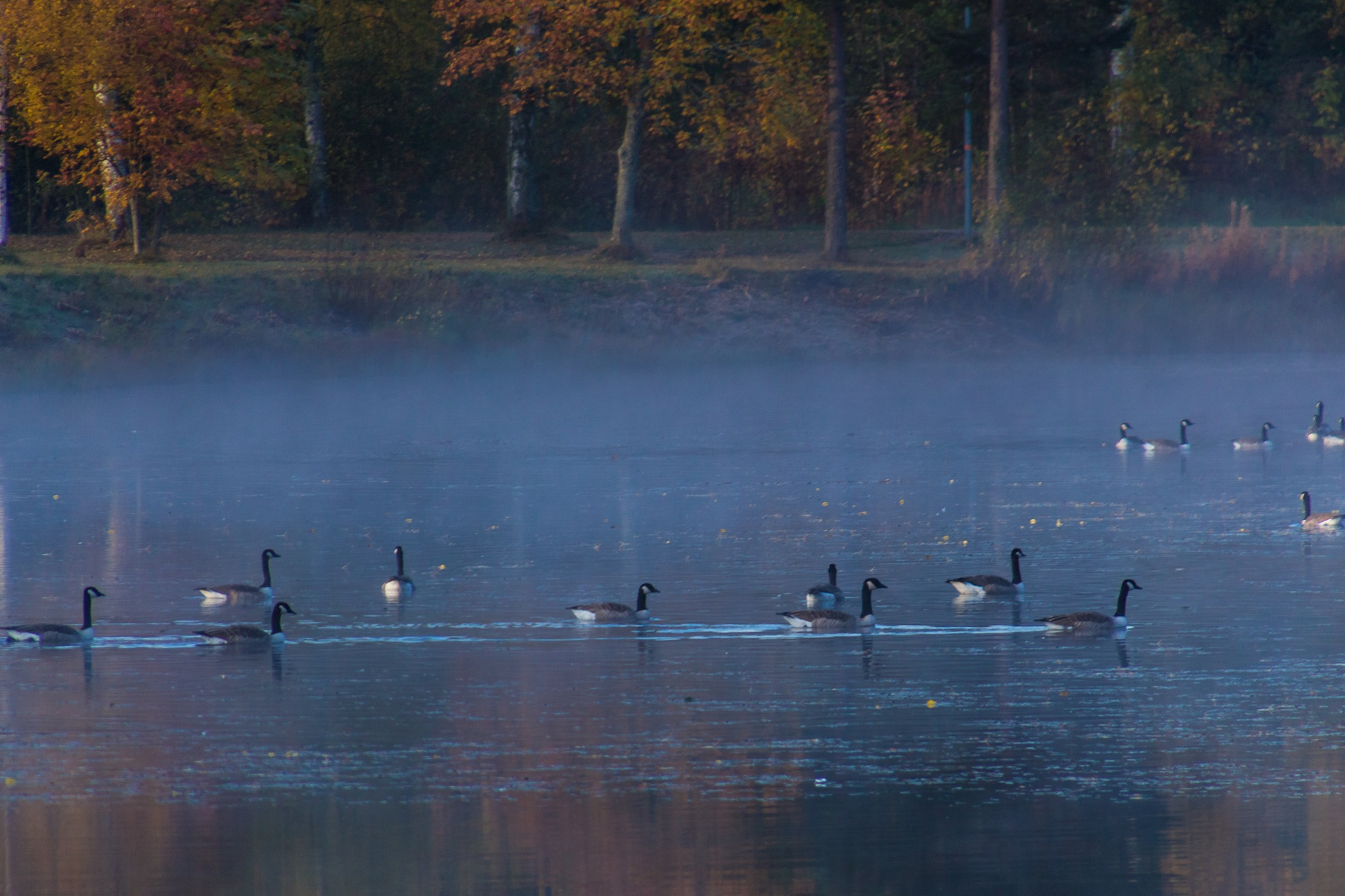 Oh Canada geese by Carl Hult