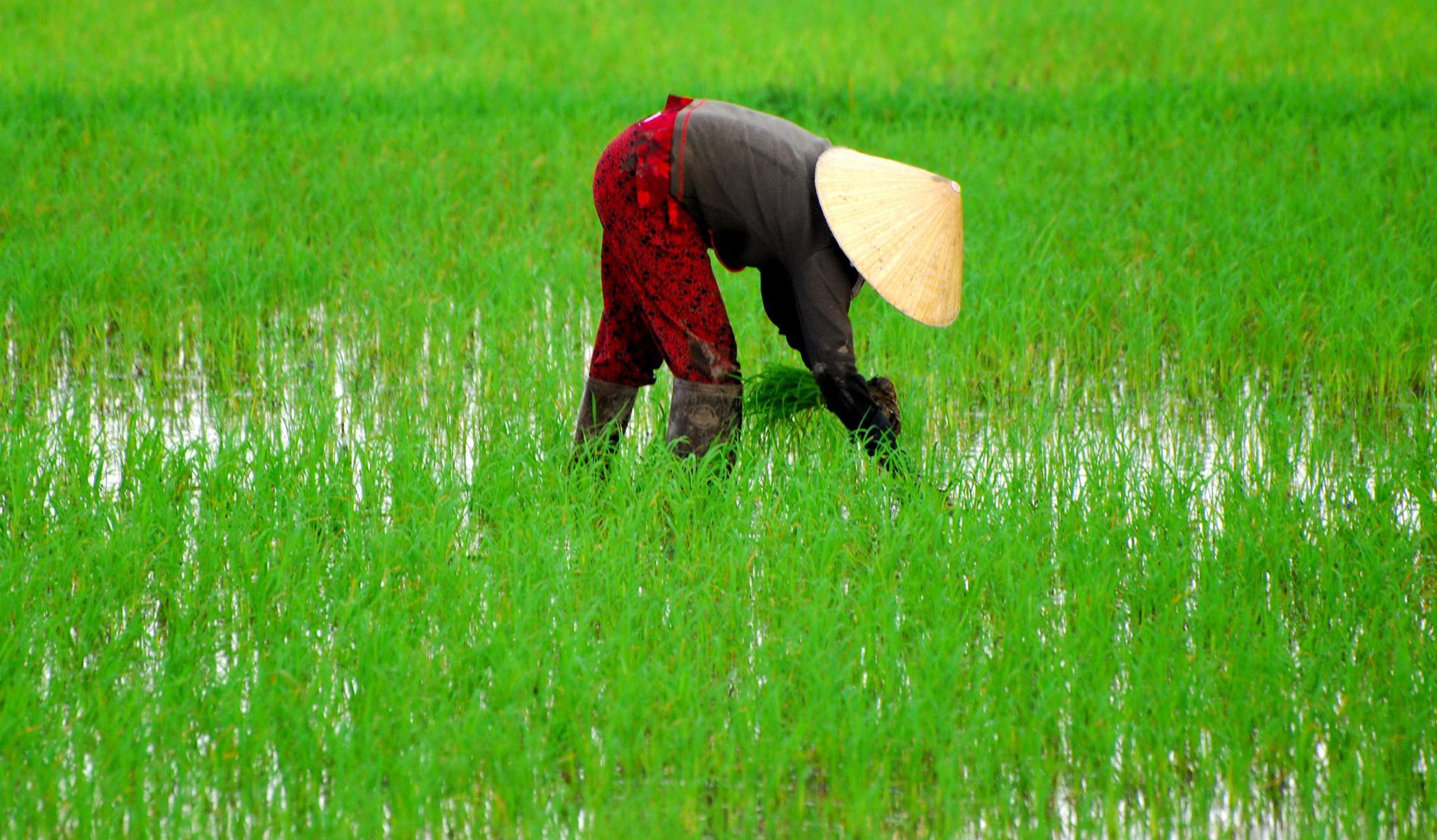rice farmer by ciocca.alessandro