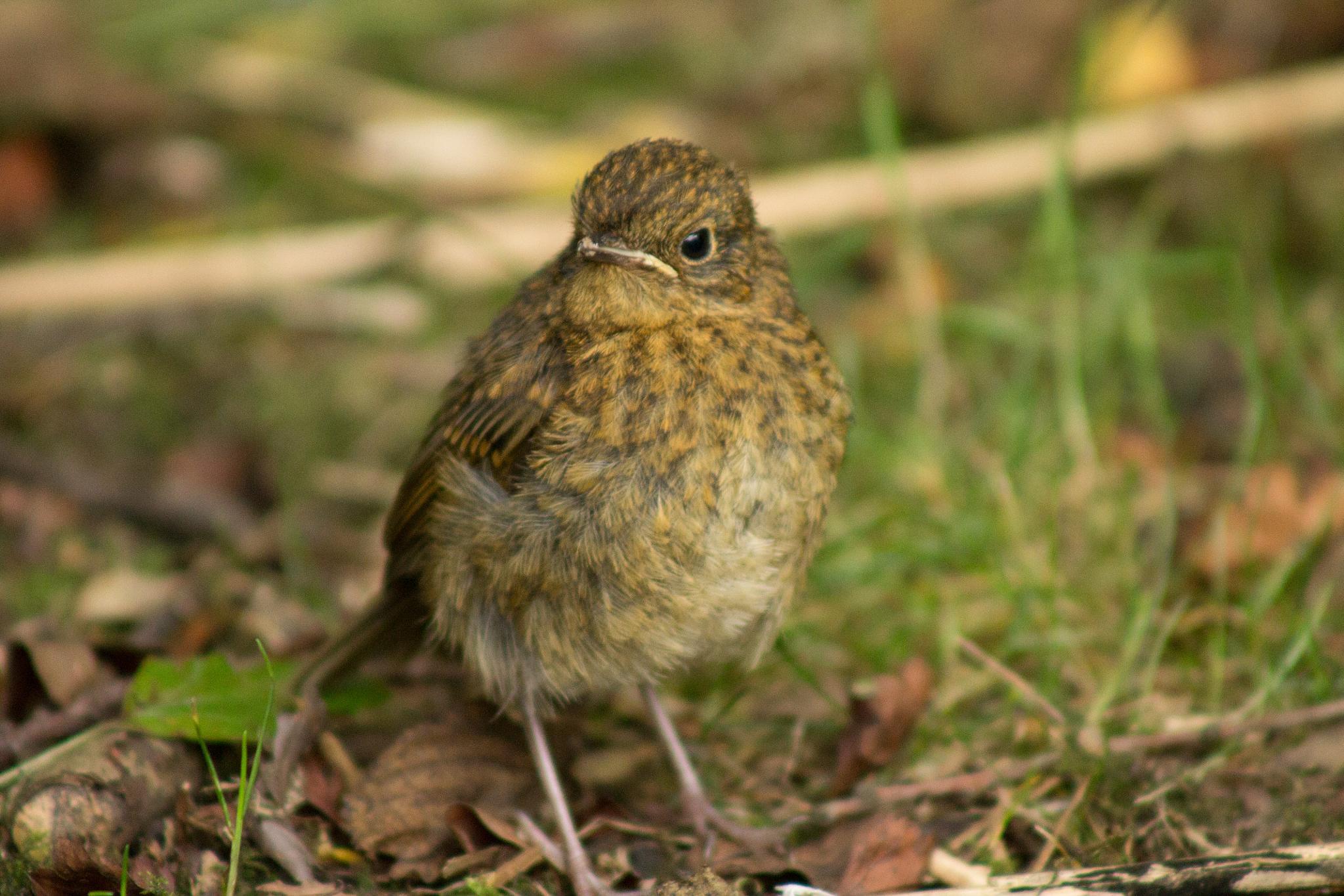 Cute little Robin by Sam Hockaday