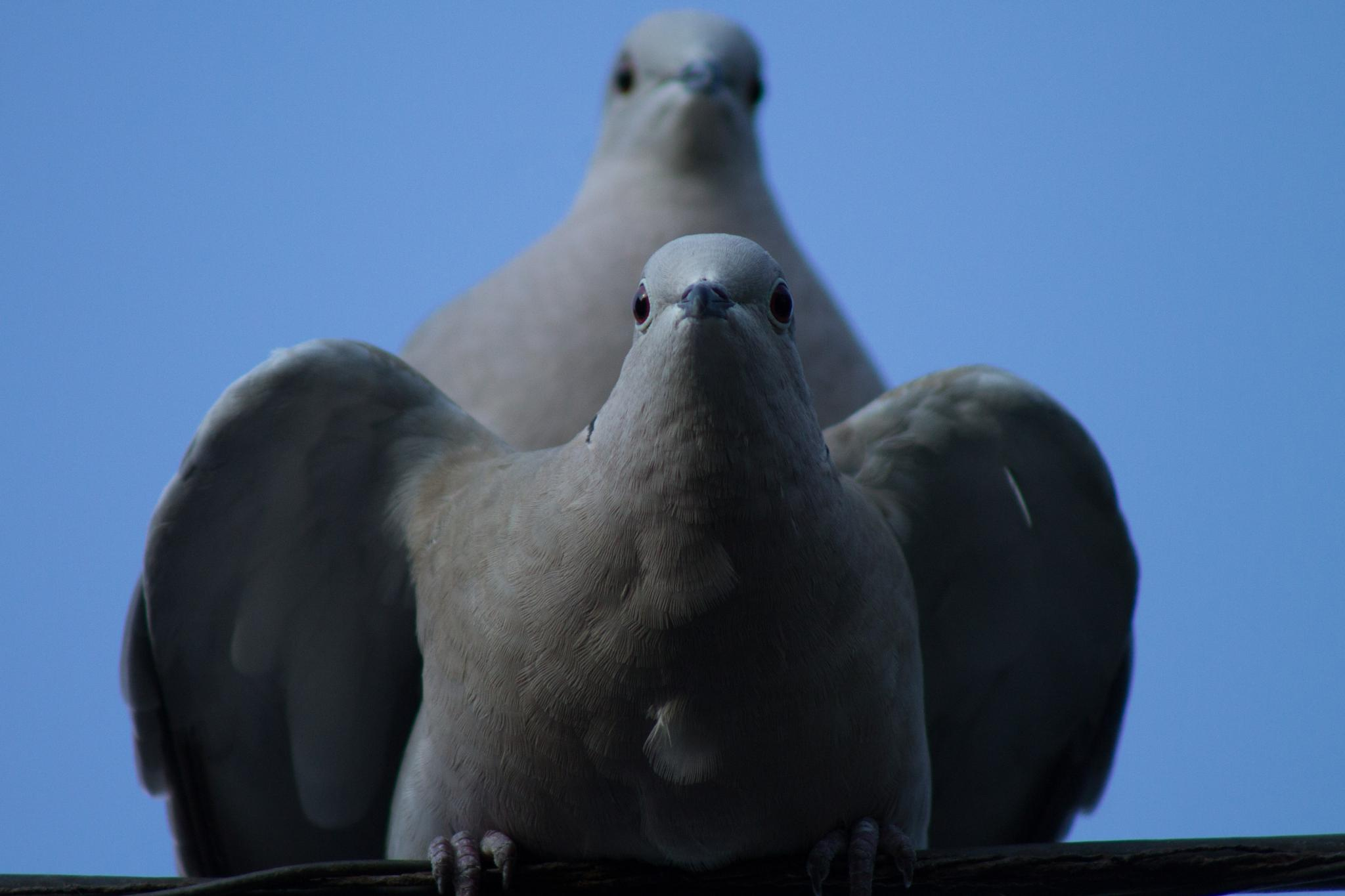 Mating Collared Dove's by Sam Hockaday