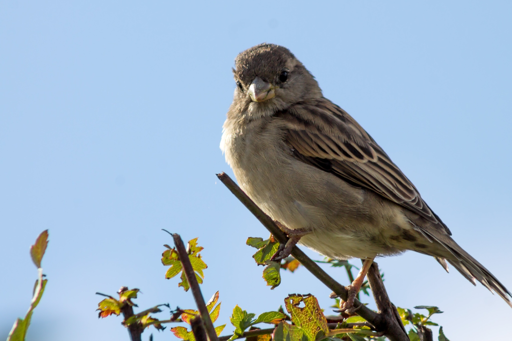 Pretty House Sparrow by Sam Hockaday