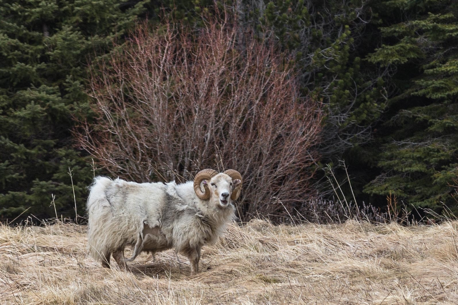 Icelandic Sheep by charles desrosiers