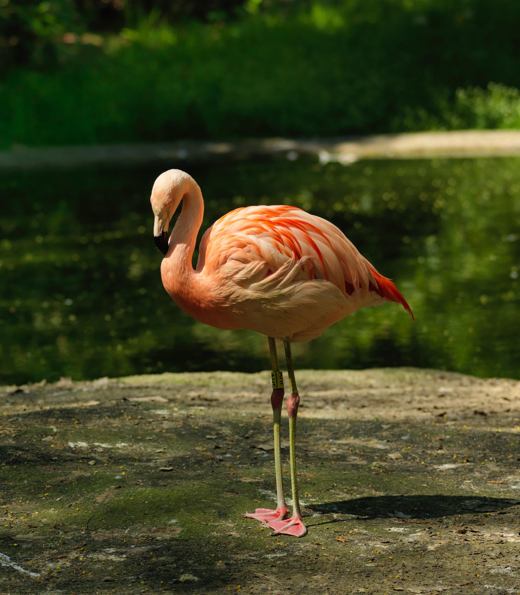 Photo in Animal #flamingo