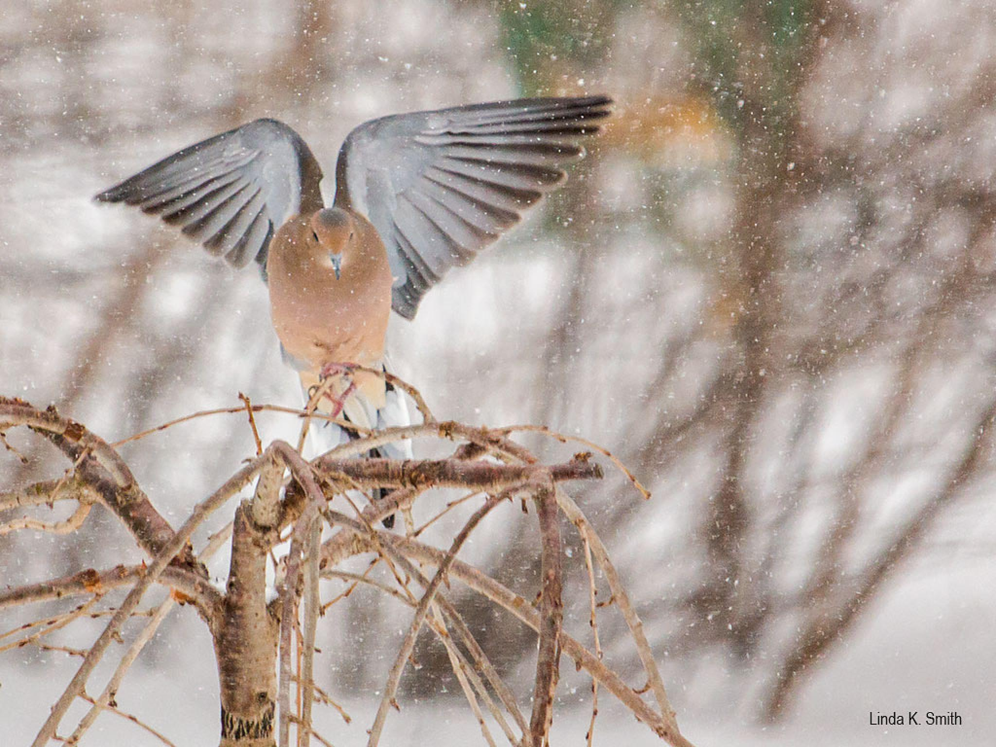 The Wings Of A Mourning Dove by linda.smith.754365