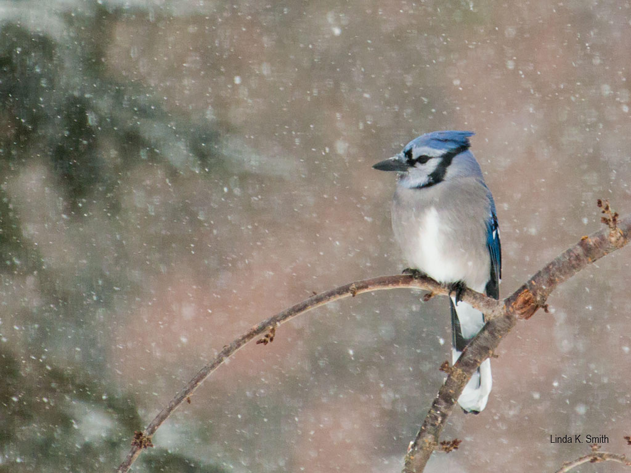 Blue Jay endures a snow storm by linda.smith.754365