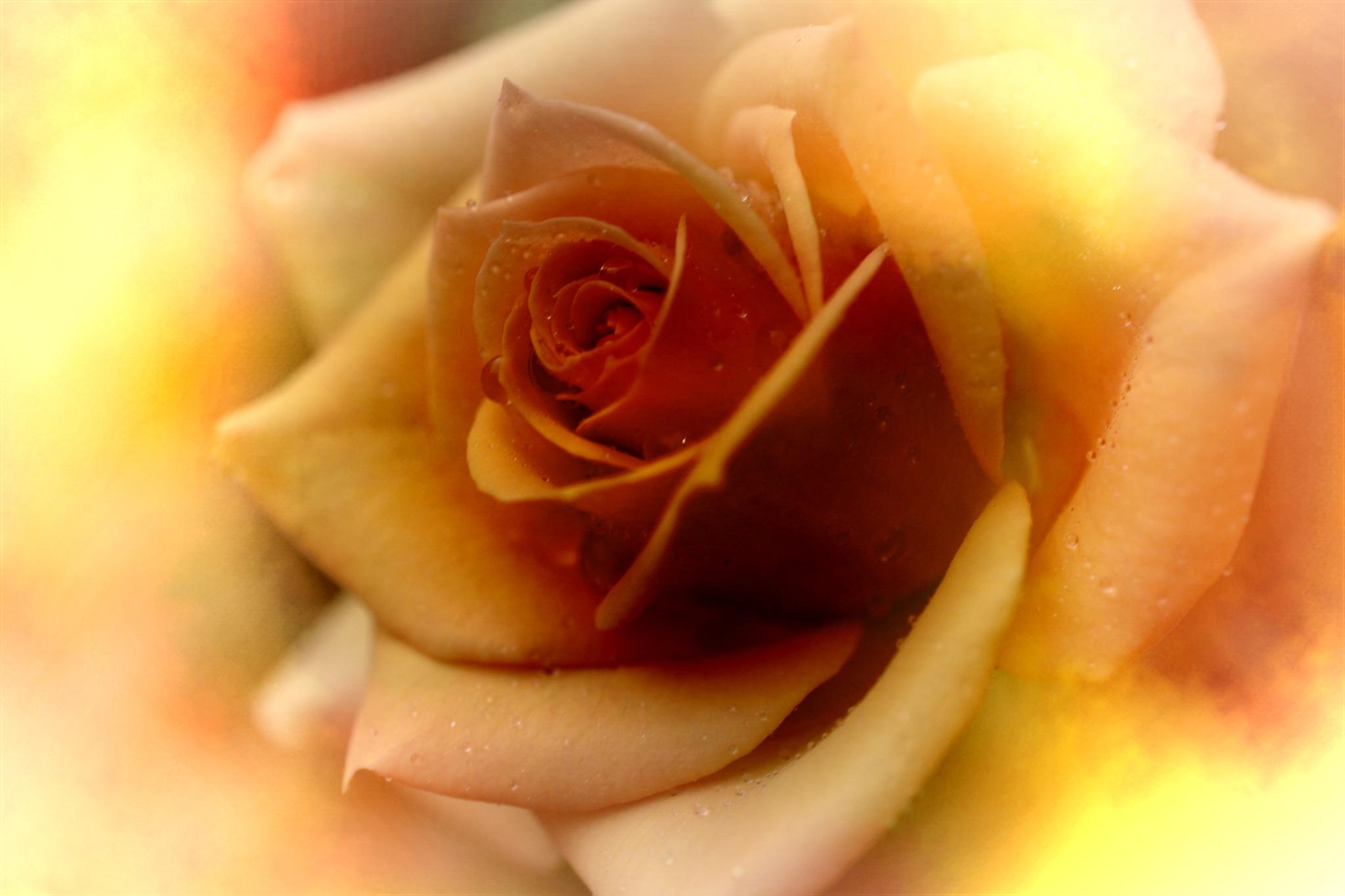foggy rose by pgavin5000
