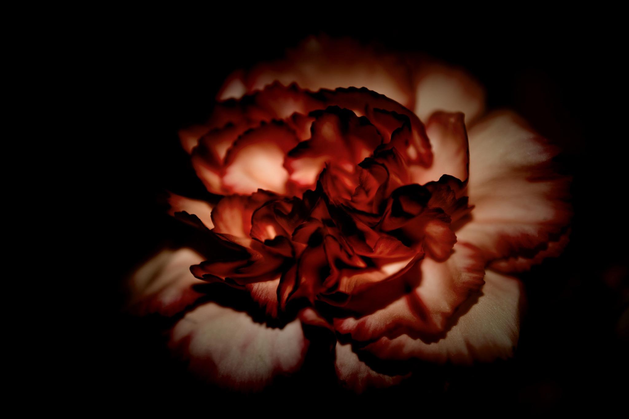 carnation by pgavin5000
