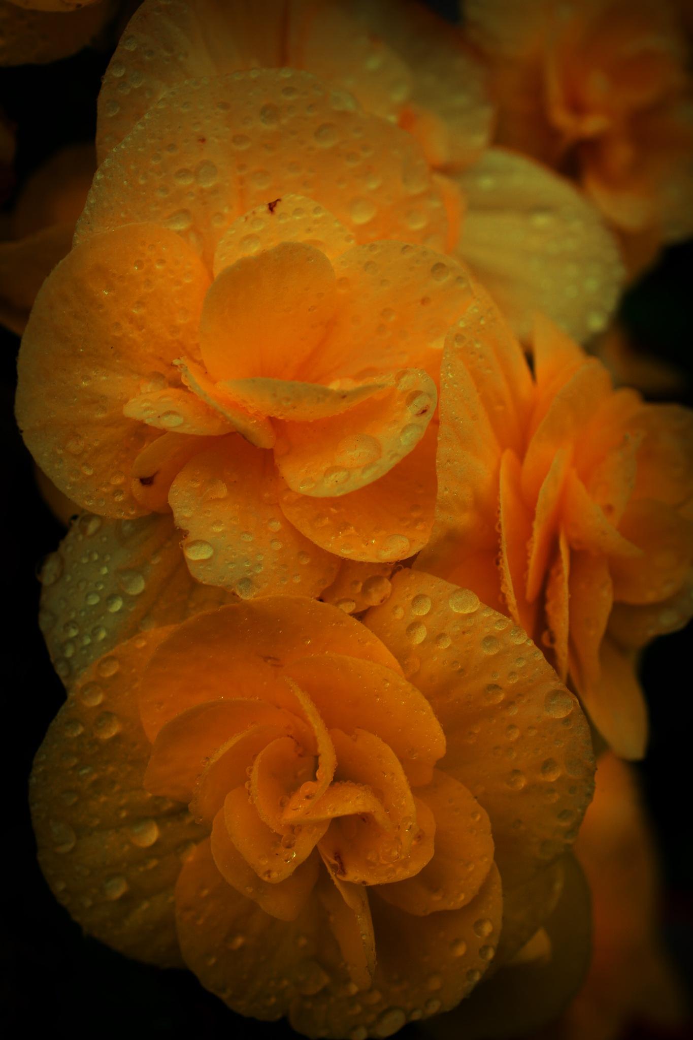 orange begonias by pgavin5000