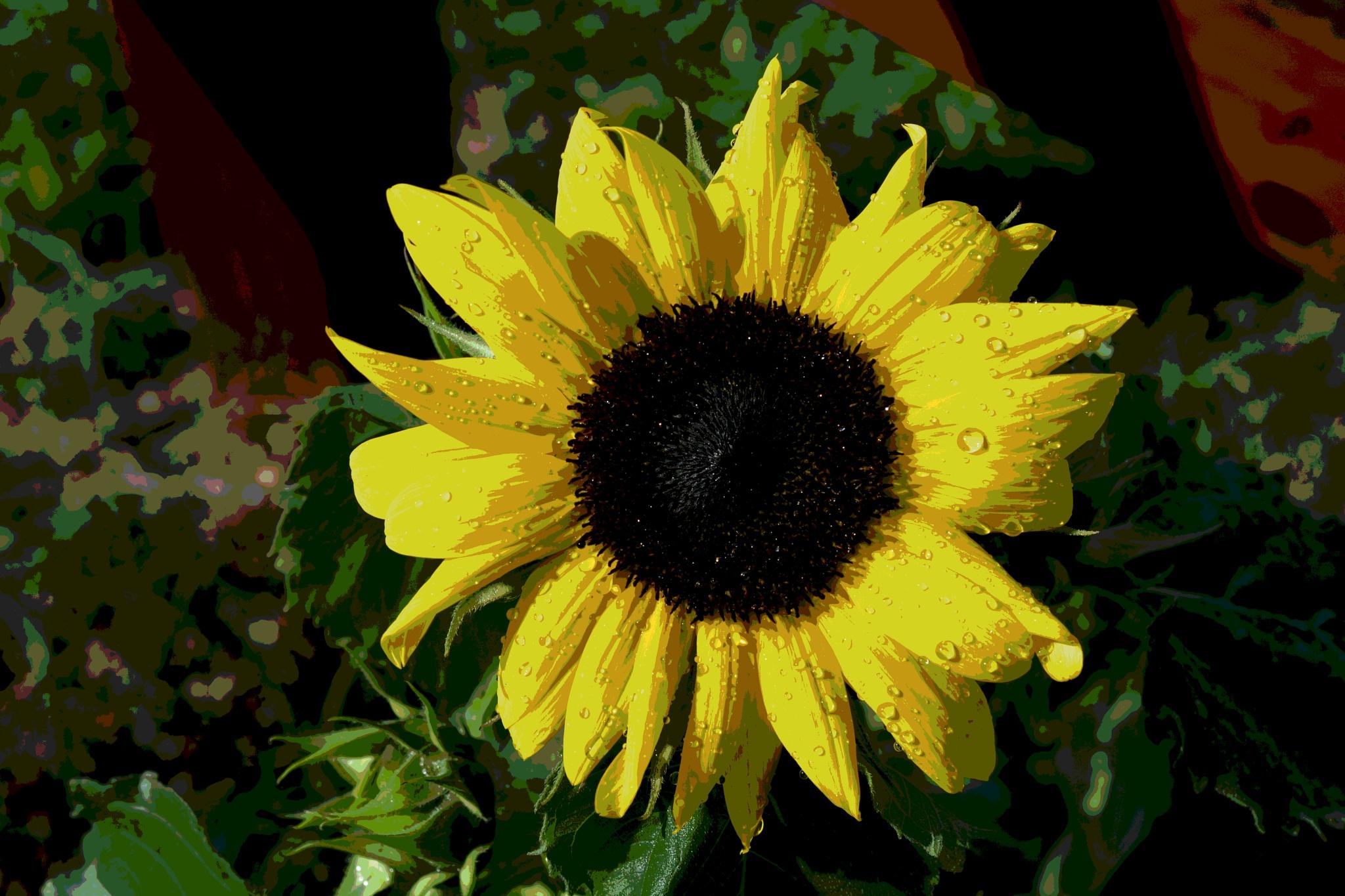 sunflower by pgavin5000