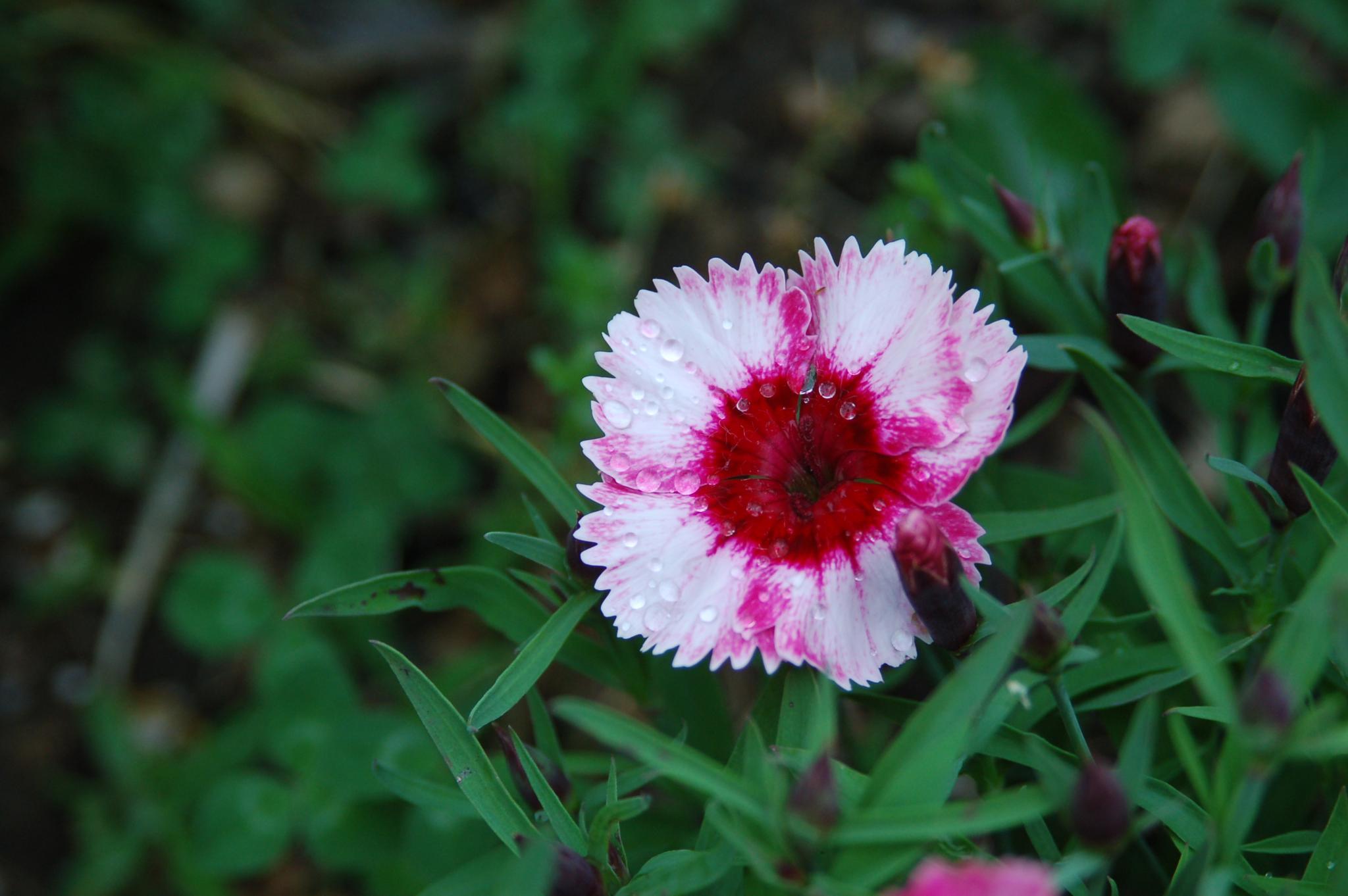 single flower by pgavin5000
