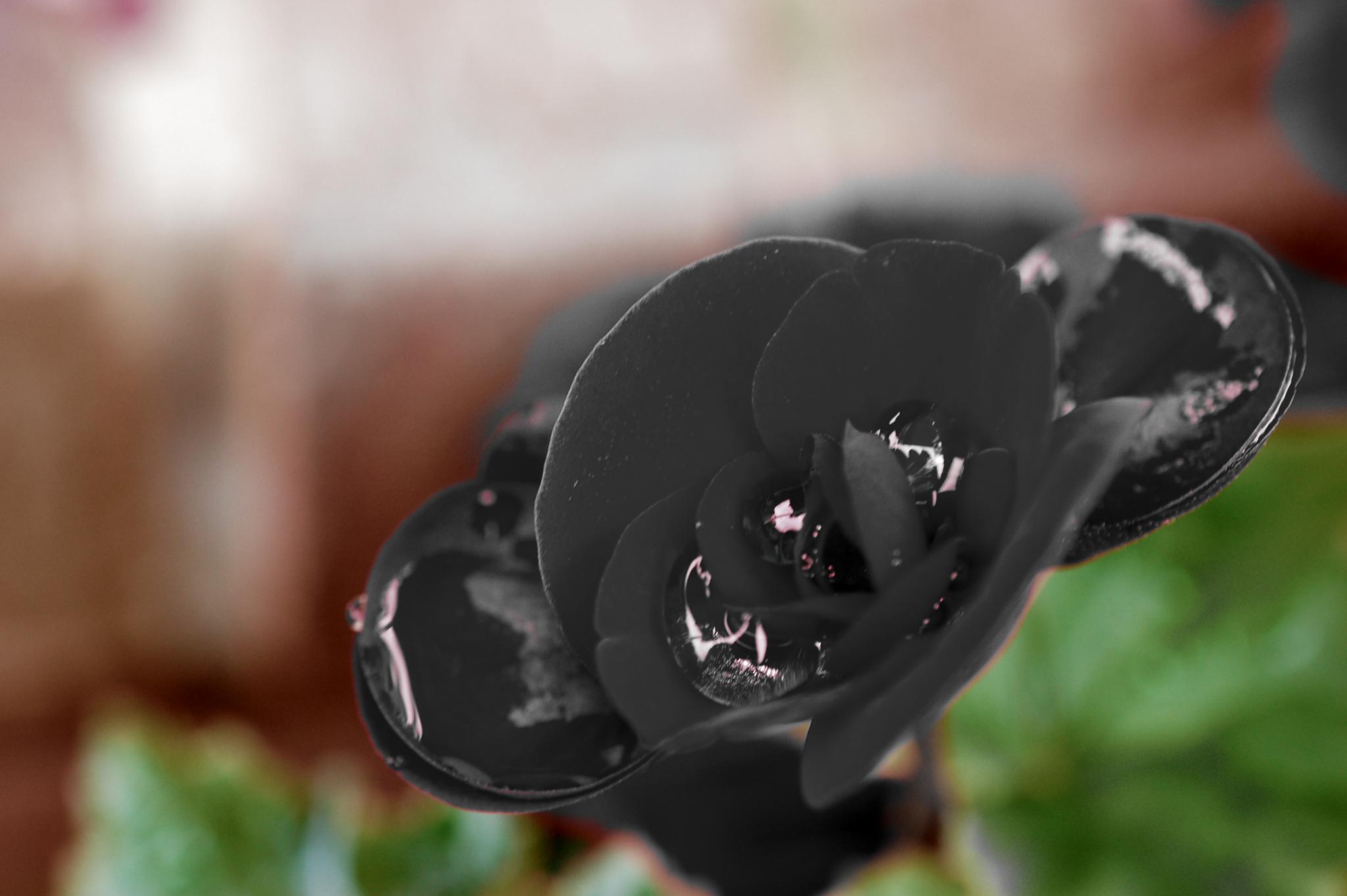 black begonia by pgavin5000