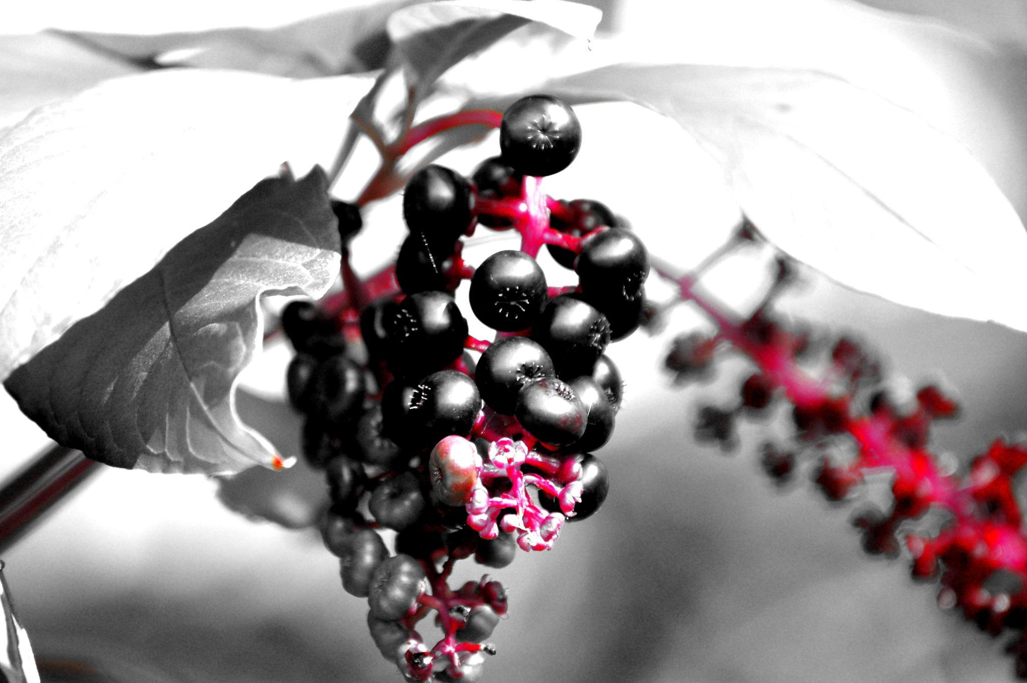 wild berries by pgavin5000