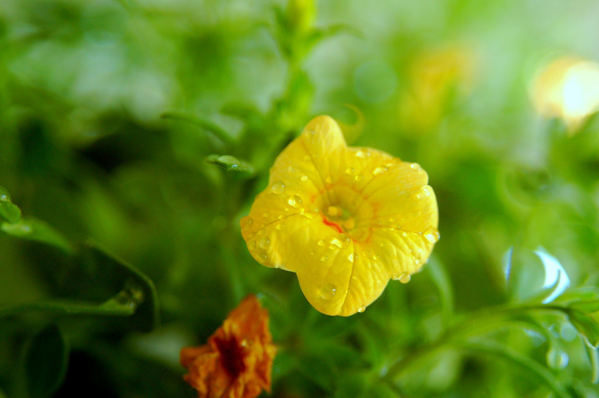 yellow wild flower by pgavin5000