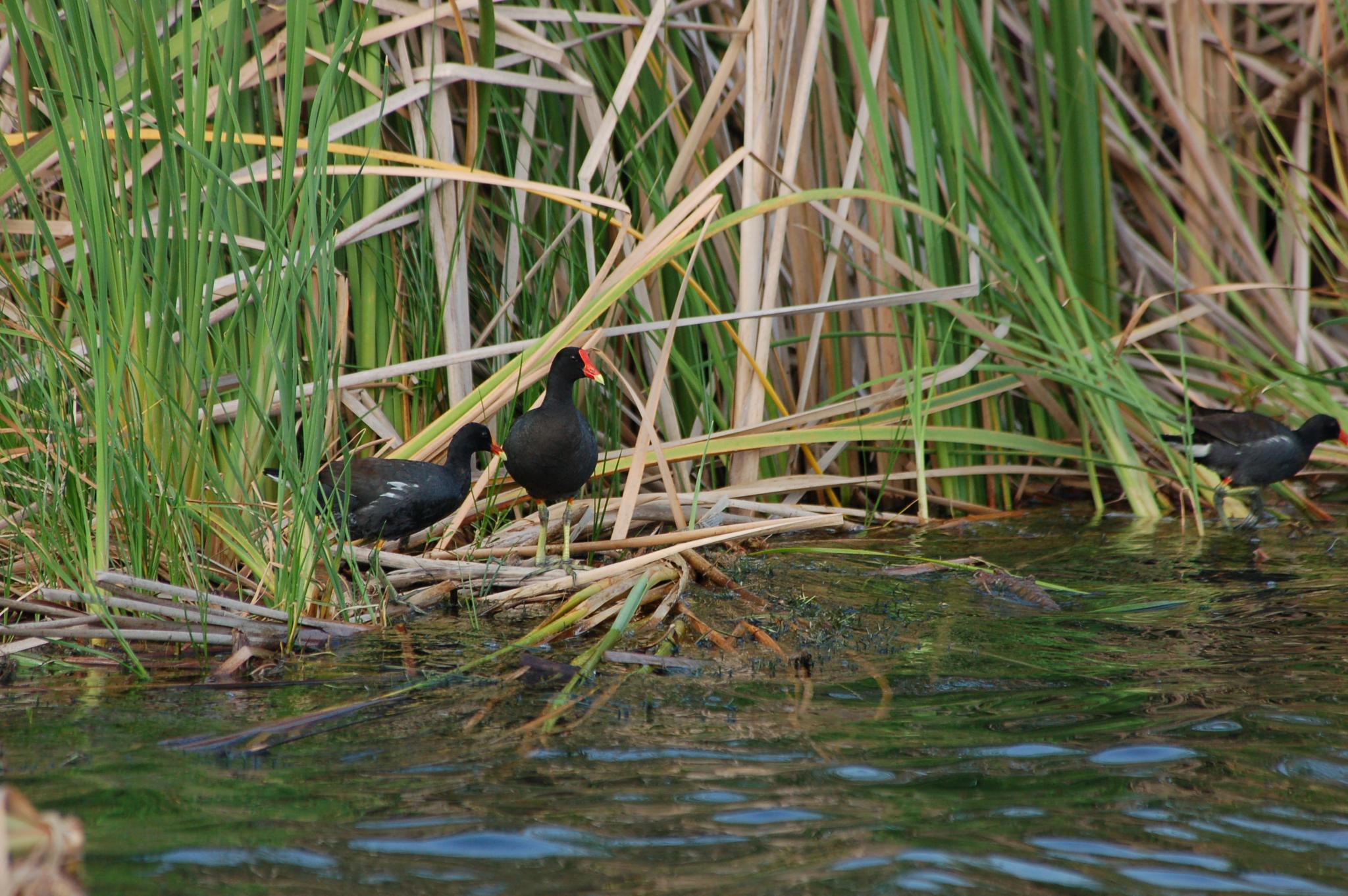 black ducks by pgavin5000