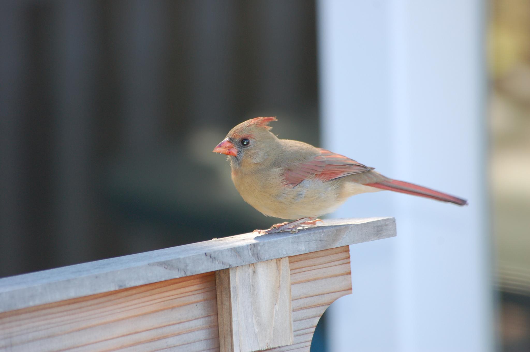 female cardinal by pgavin5000