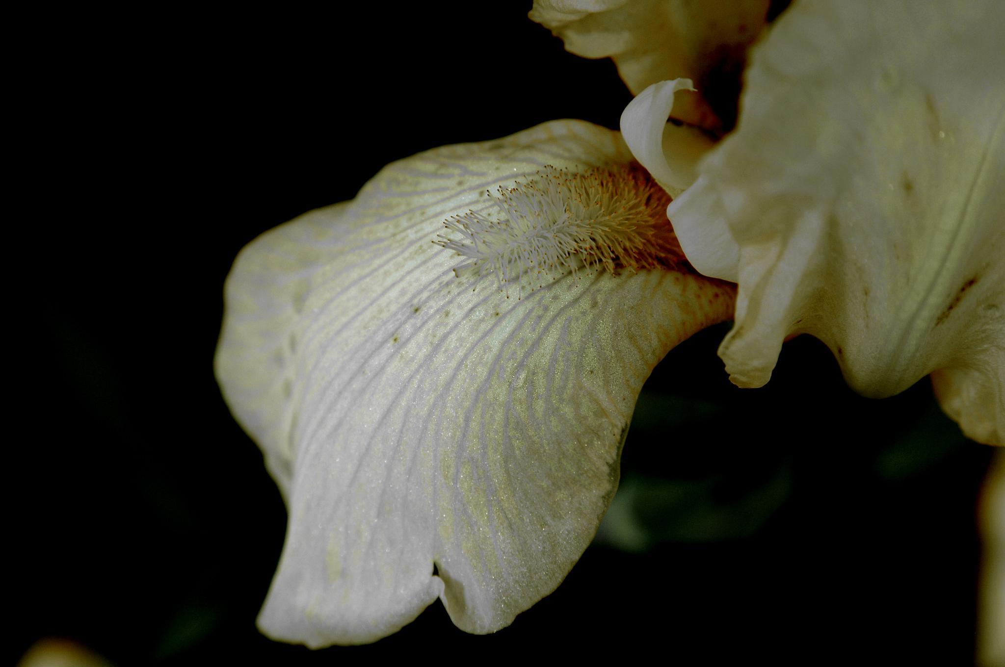 yellow iris by pgavin5000