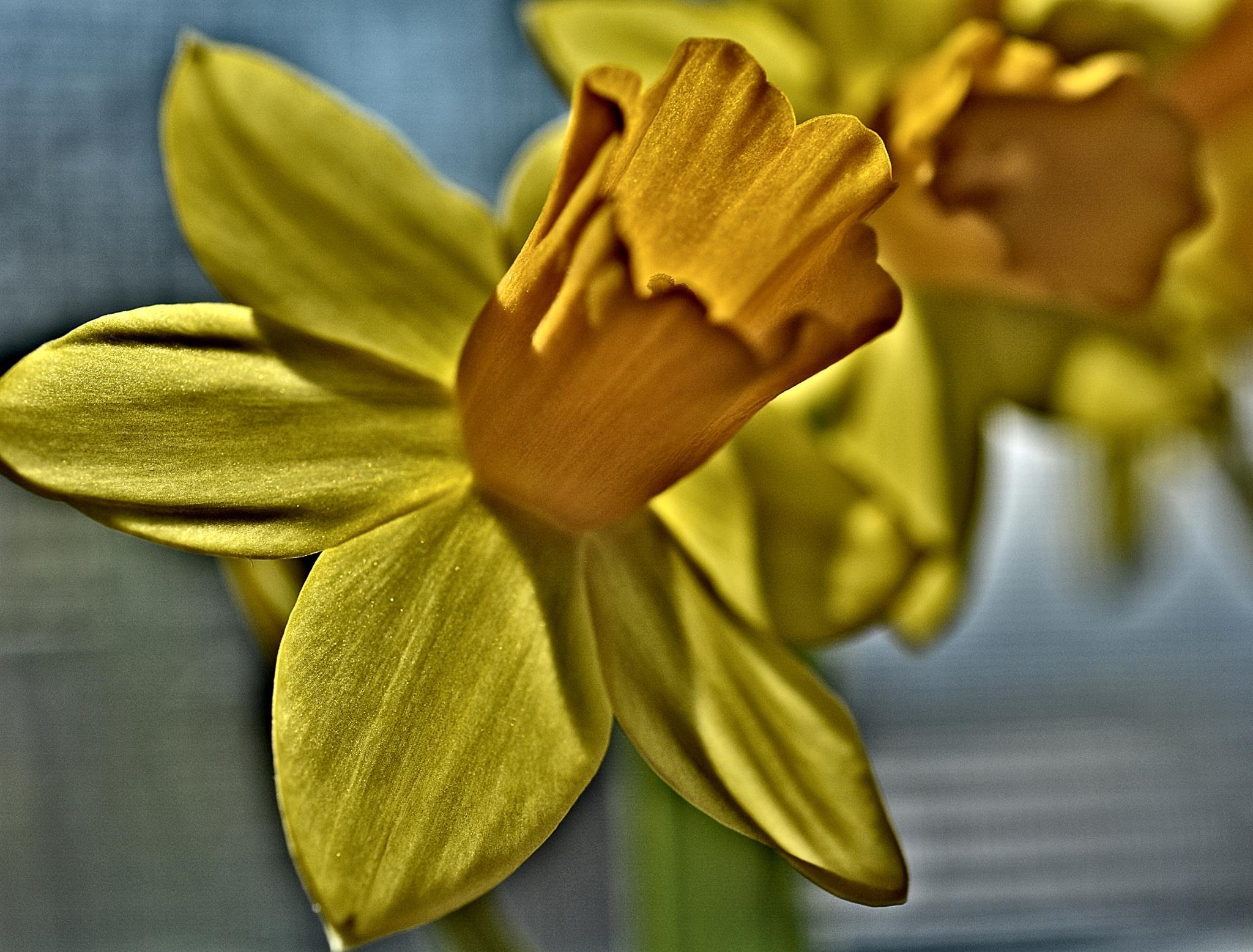 daffodil by pgavin5000