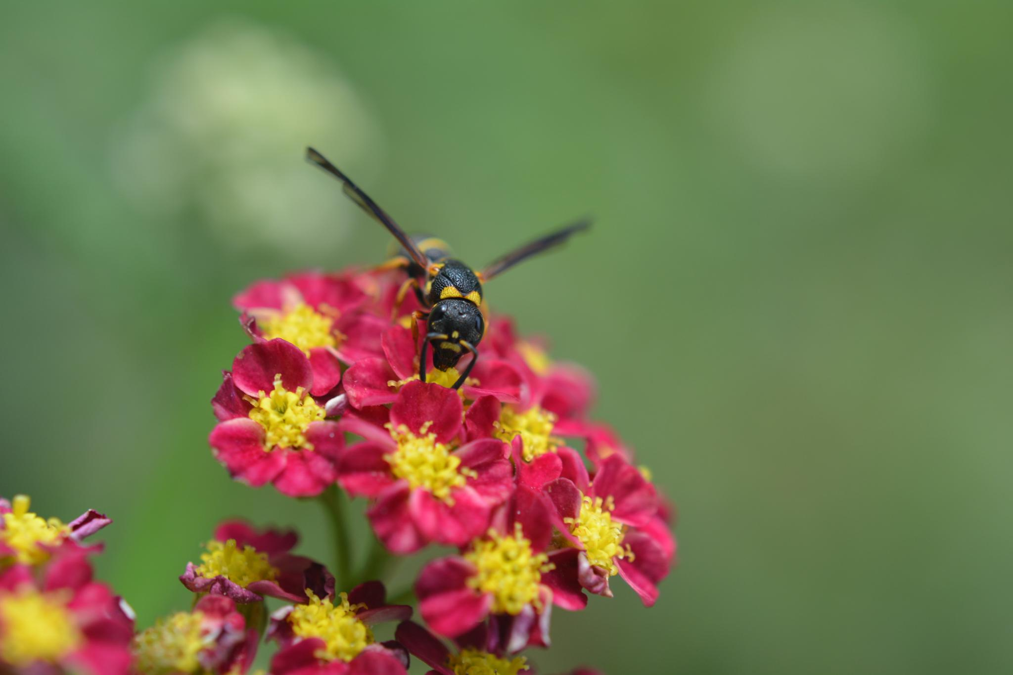 wasp by pgavin5000