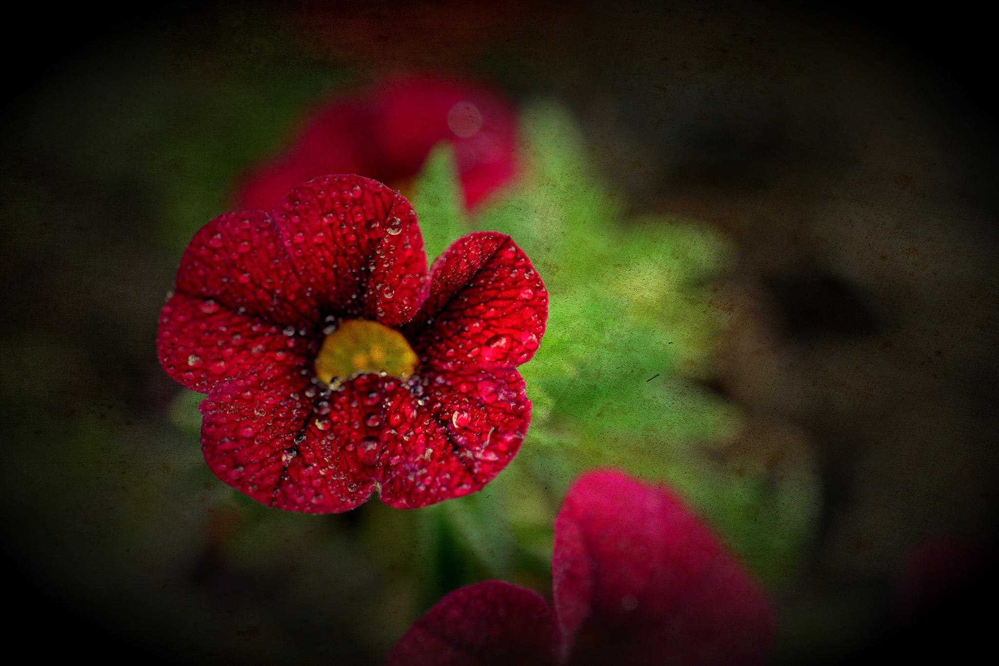 red petunia by pgavin5000