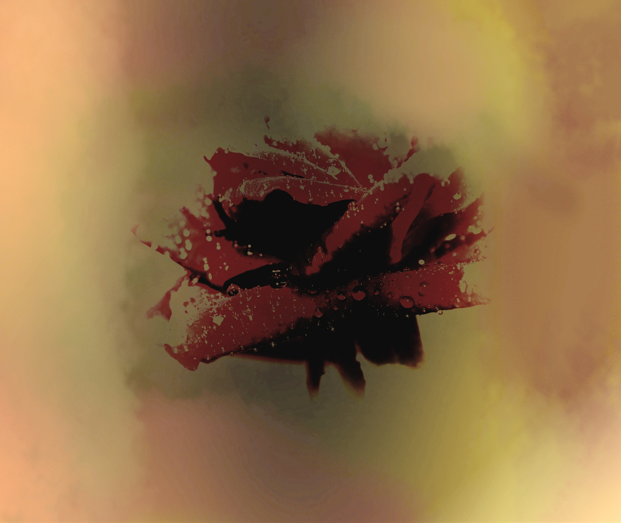 red rose abstract 001 by pgavin5000
