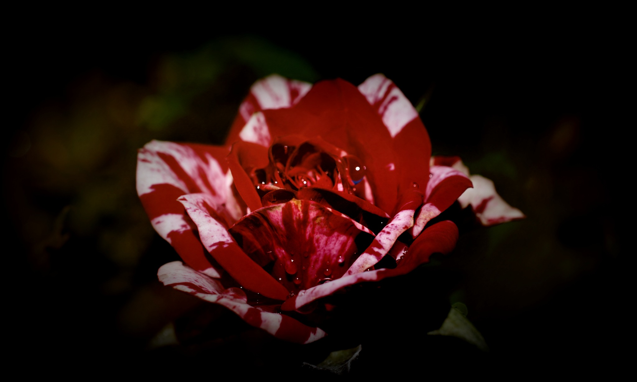red and white rose by pgavin5000