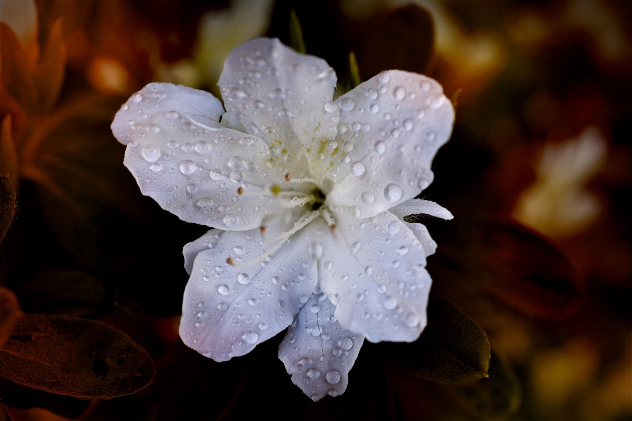 white azalea by pgavin5000
