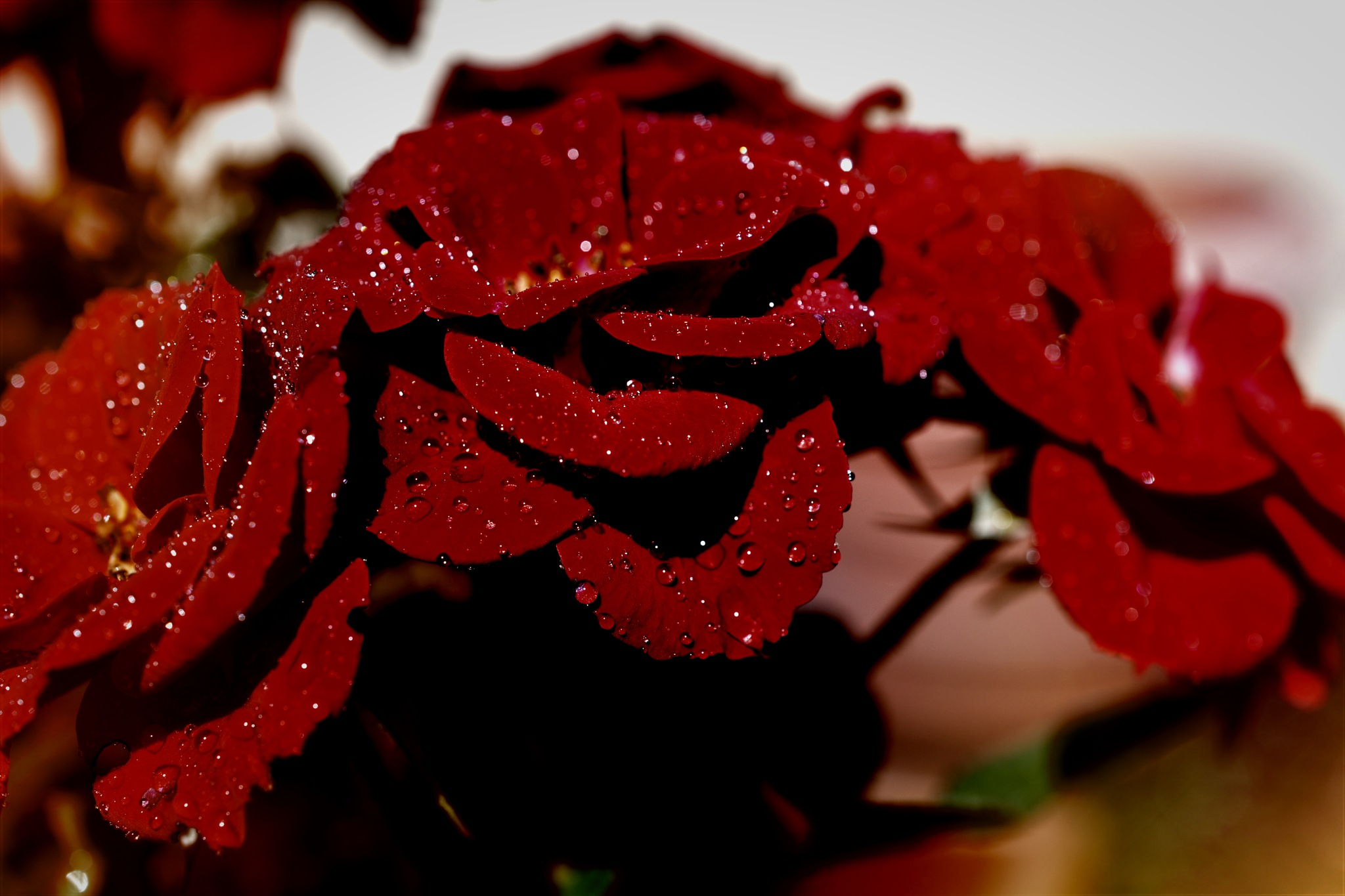 red knockout rose by pgavin5000
