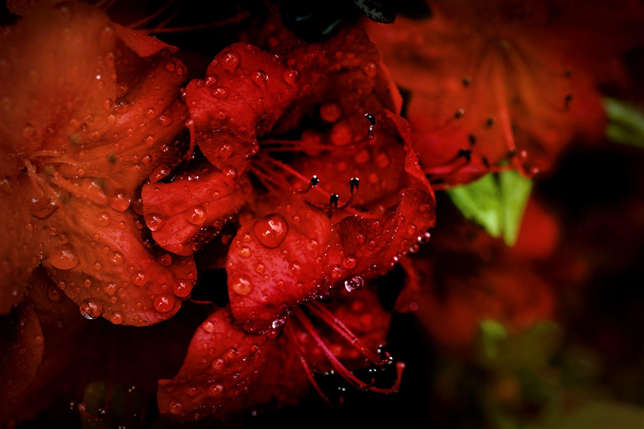 red azalea  by pgavin5000