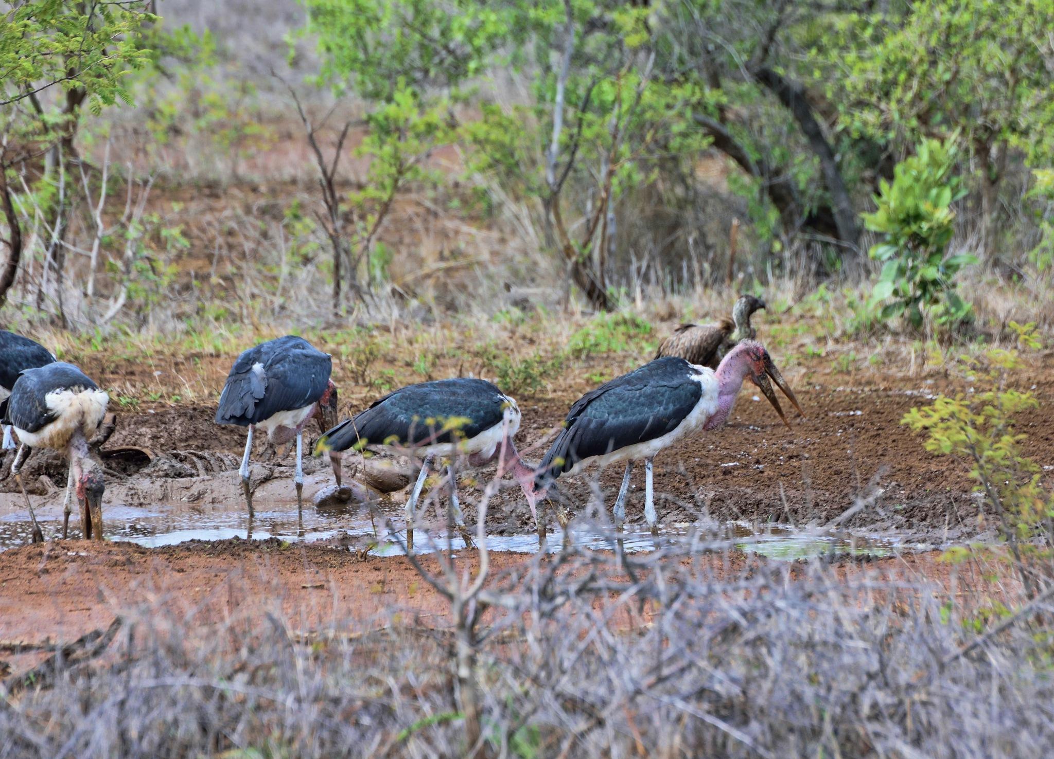 South Africa - Kruger Park (159) Marabou Storks and a White Backed Vulture by Derek Clarke