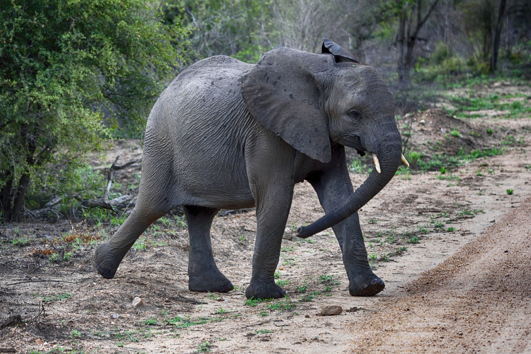South Africa - Kruger Park (218) African Elephant by Derek Clarke