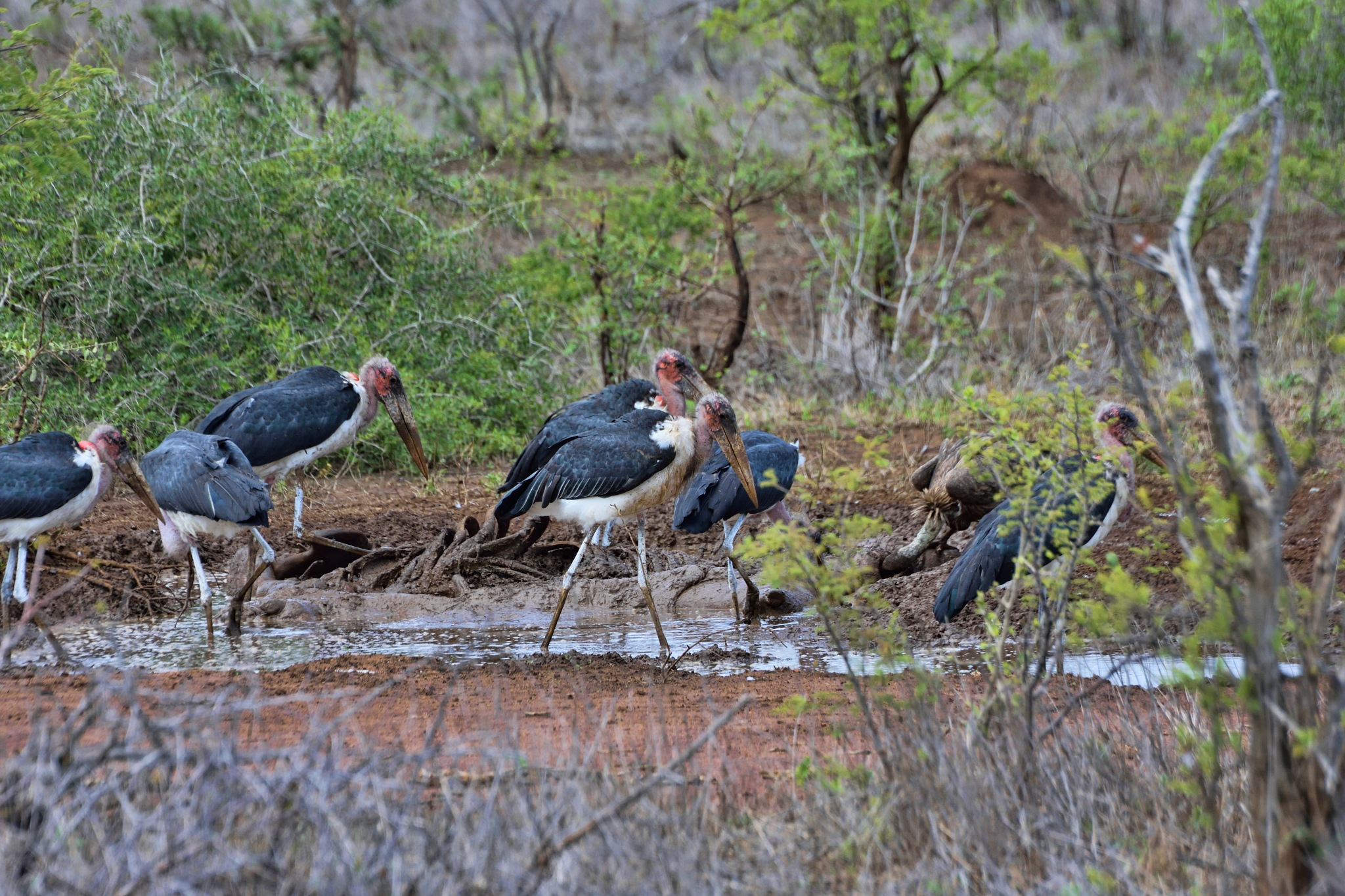South Africa - Kruger Park (166) Marabou Storks and a White Backed Vulture by Derek Clarke
