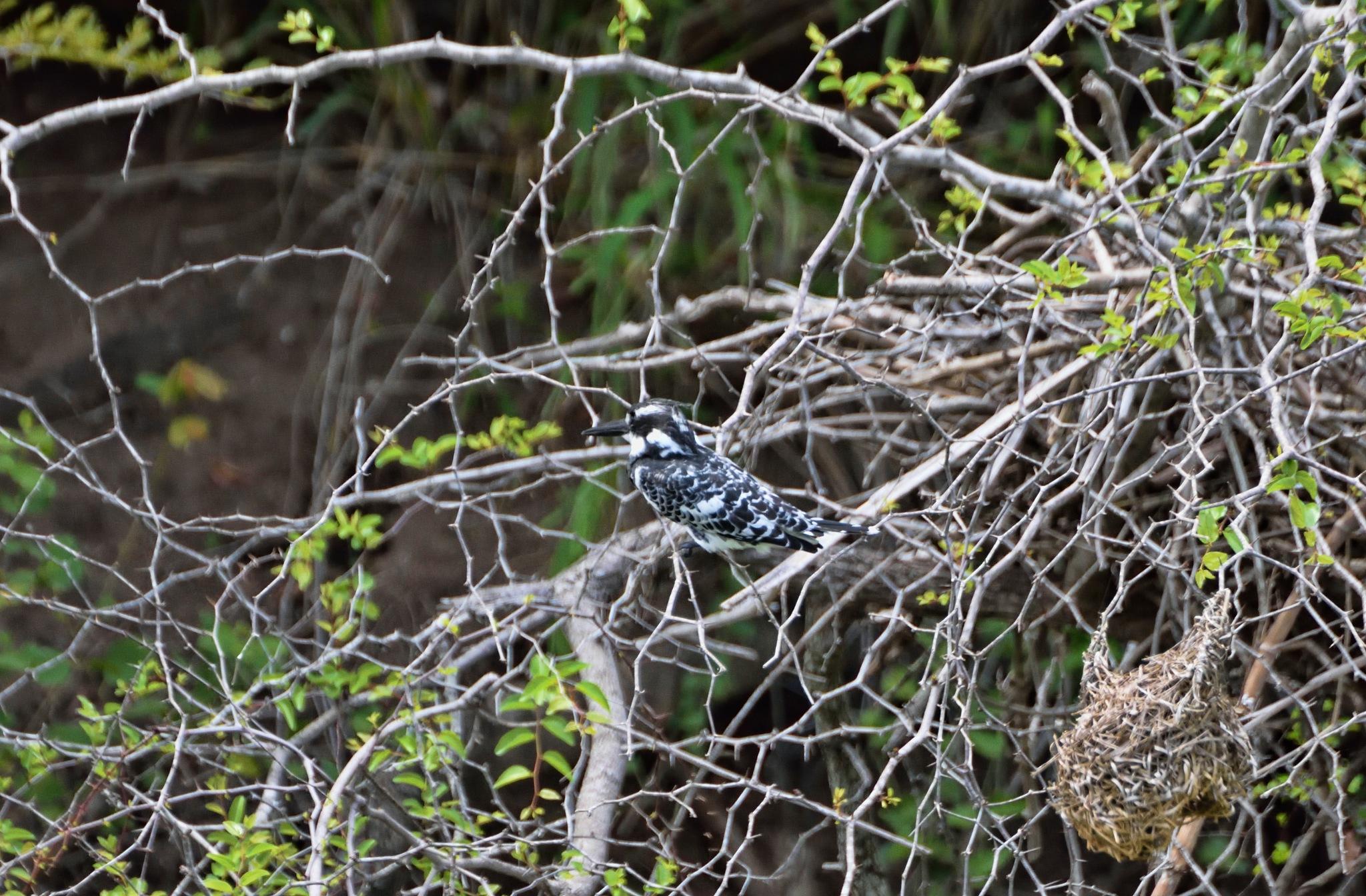 South Africa - Animals (460) Pied Kingfisher by Derek Clarke