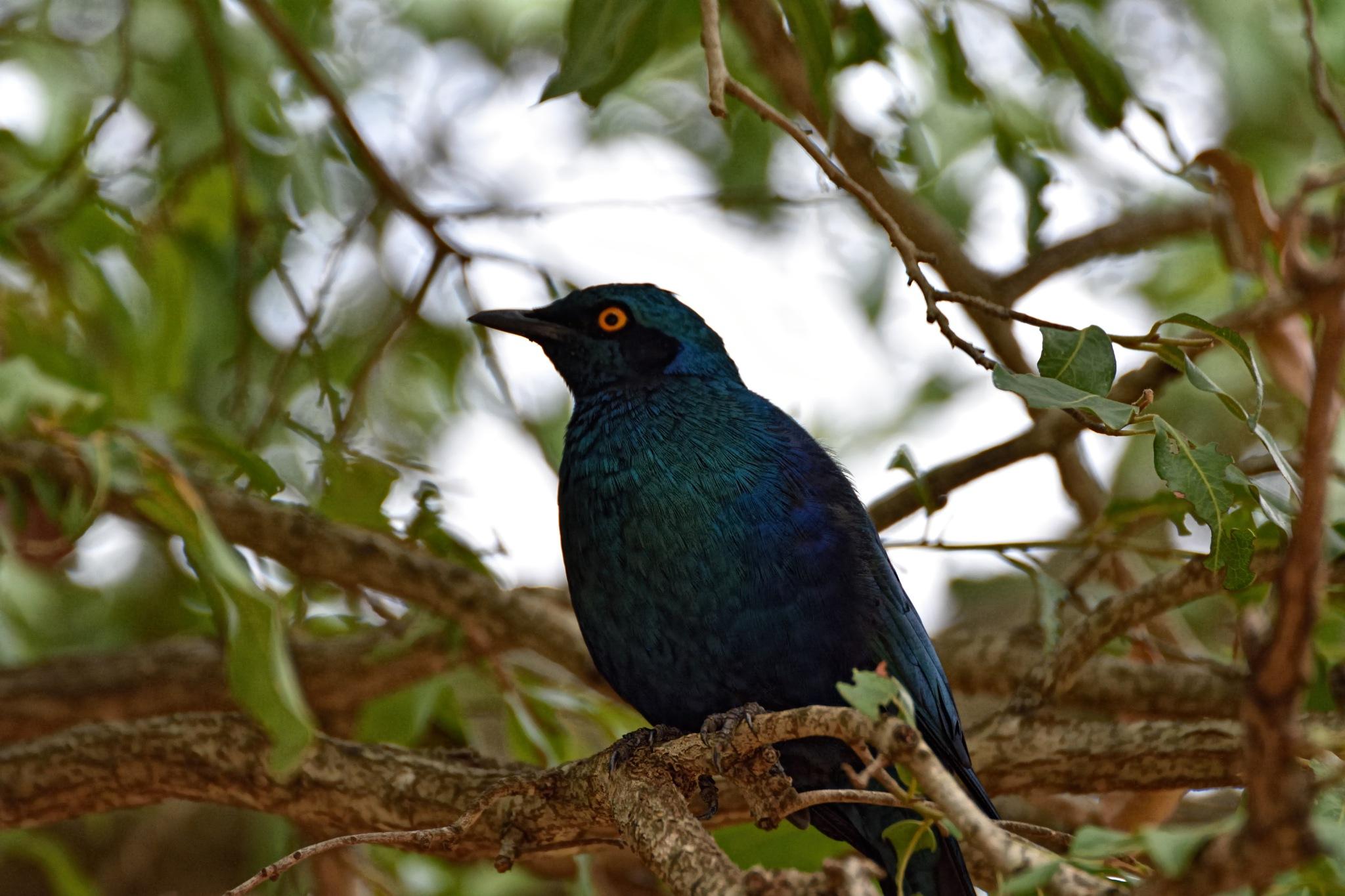 South Africa - Kruger Park (128) Cape Glossy Starling by Derek Clarke