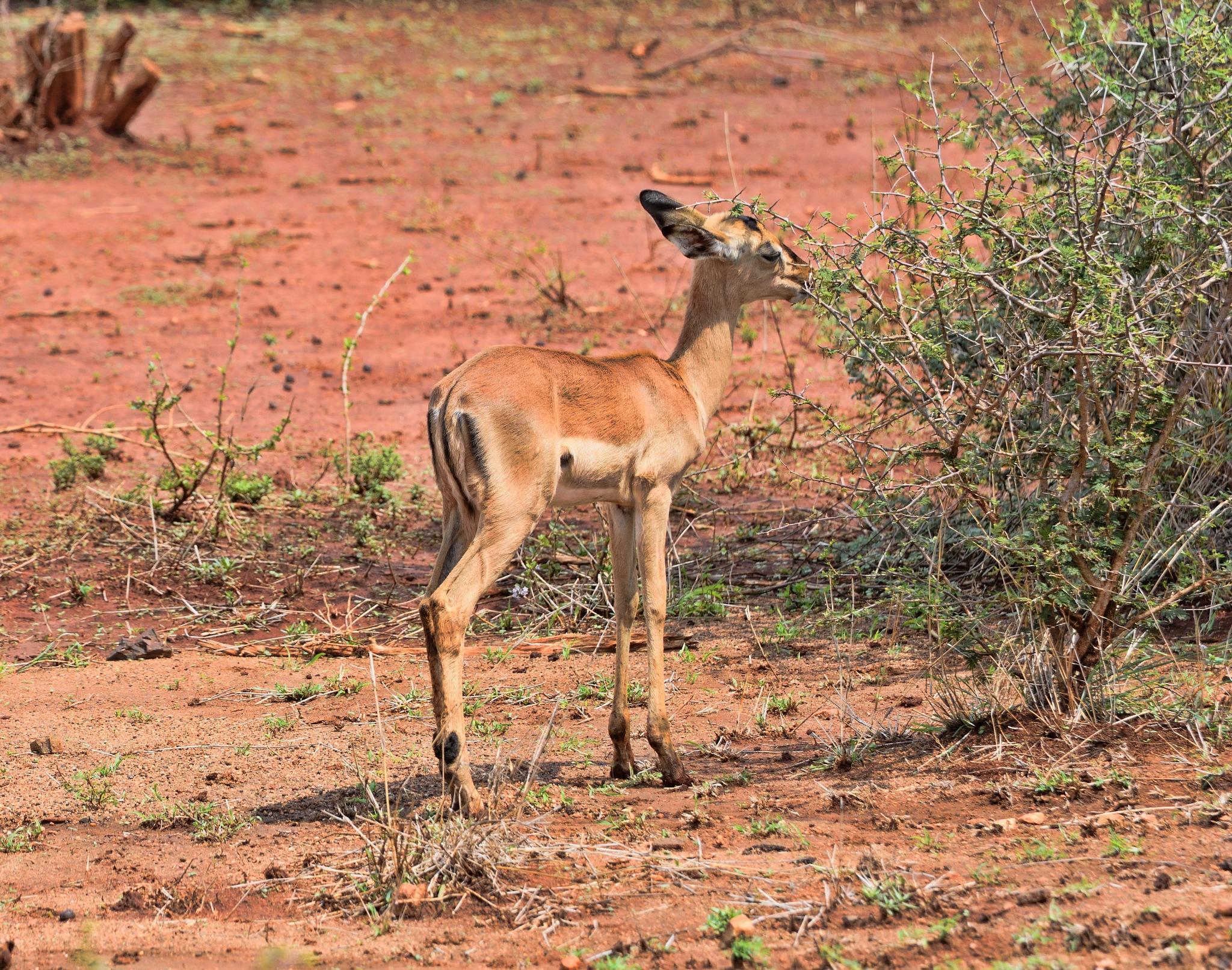 South Africa - Kruger Park (174) Impala by Derek Clarke