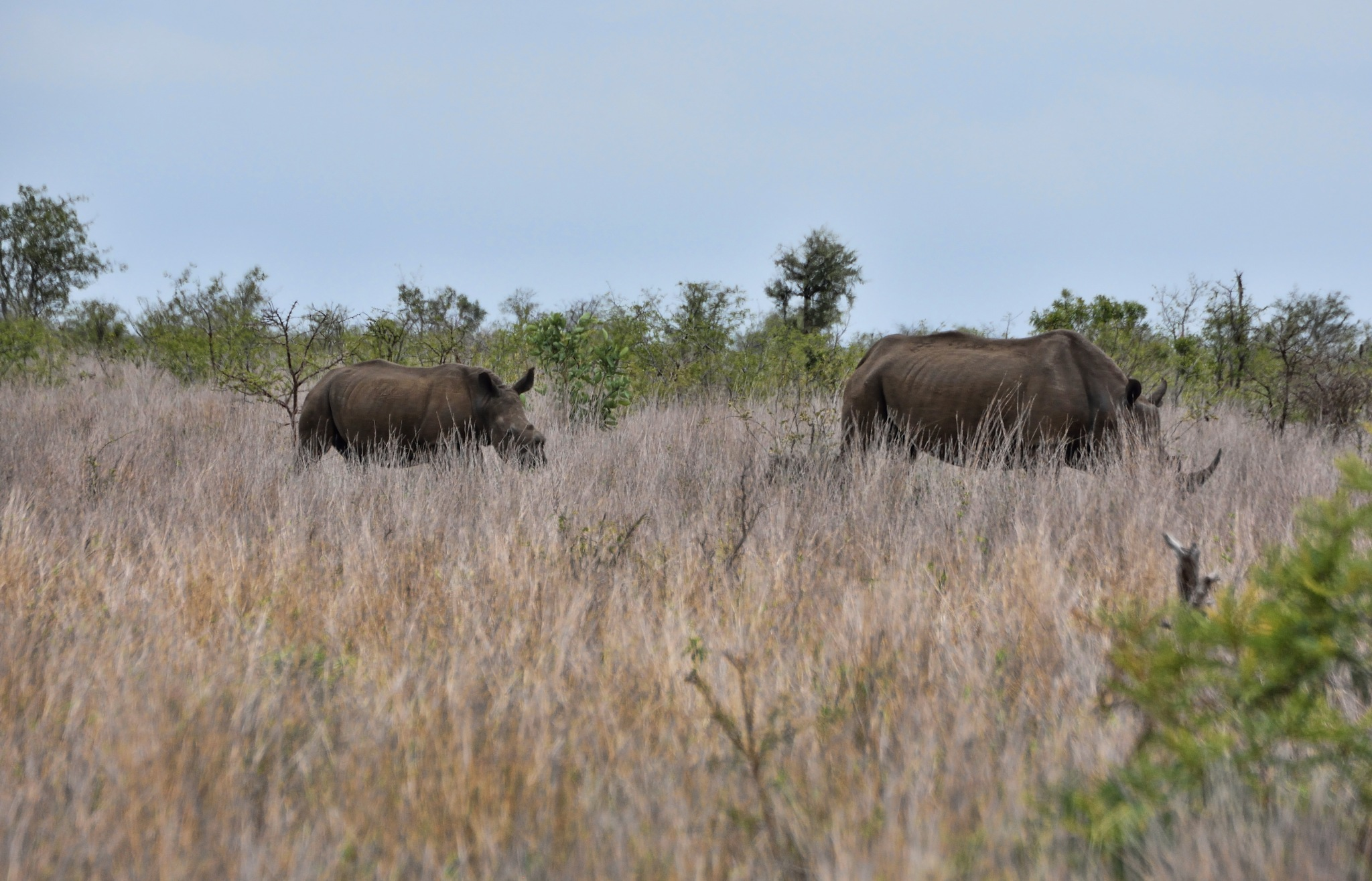 South Africa - Kruger Park (129) White Rhinoceros by Derek Clarke