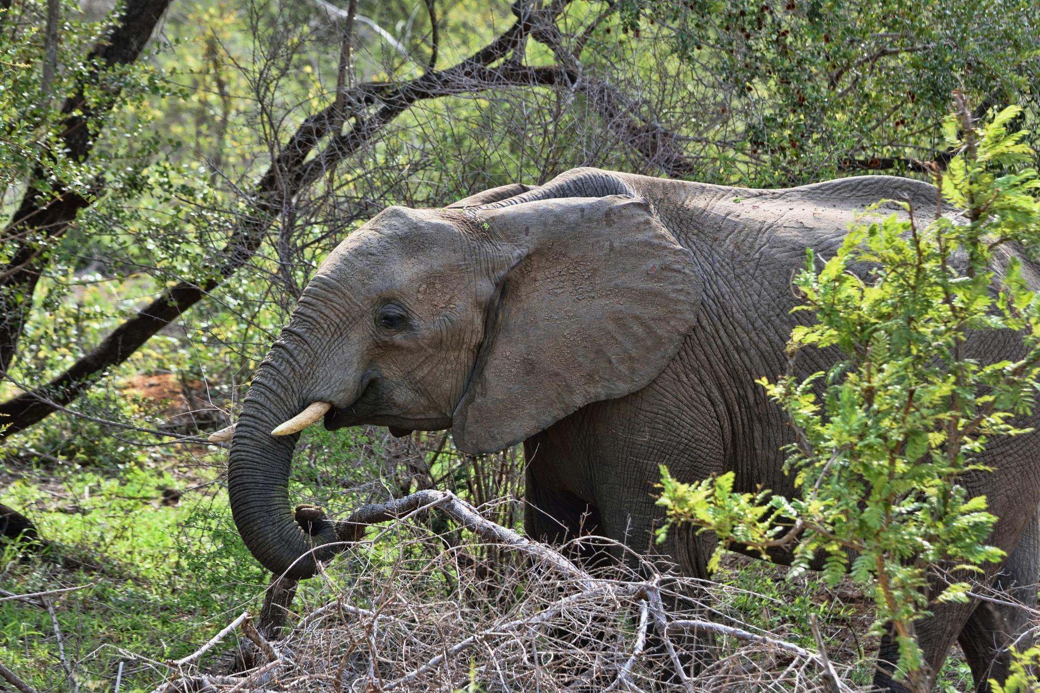 South Africa - Kruger Park (202) African Elephant by Derek Clarke