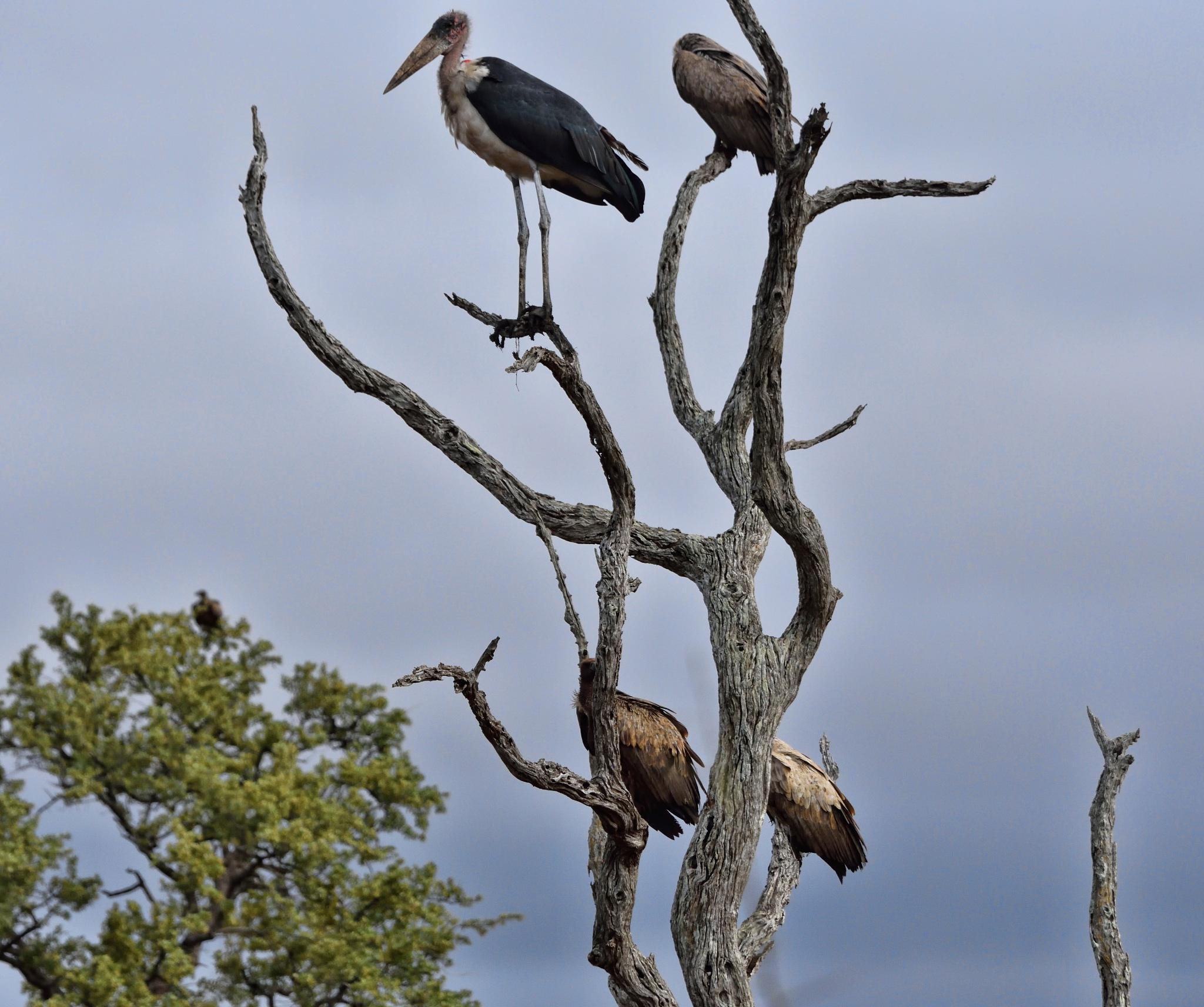 South Africa - Kruger Park (294) Marabou Stork and a White Backed Vultures by Derek Clarke