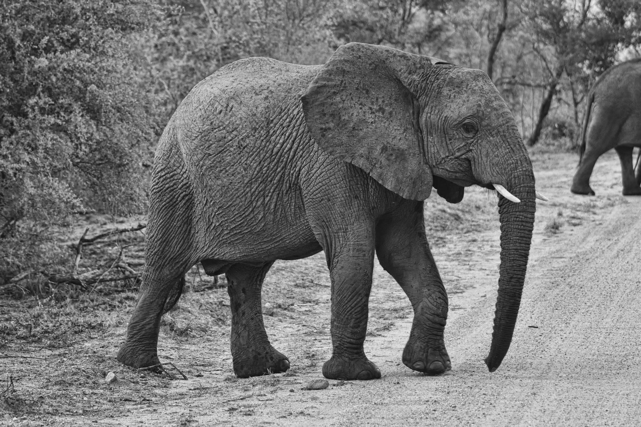 South Africa - Kruger Park (231) African Elephant by Derek Clarke