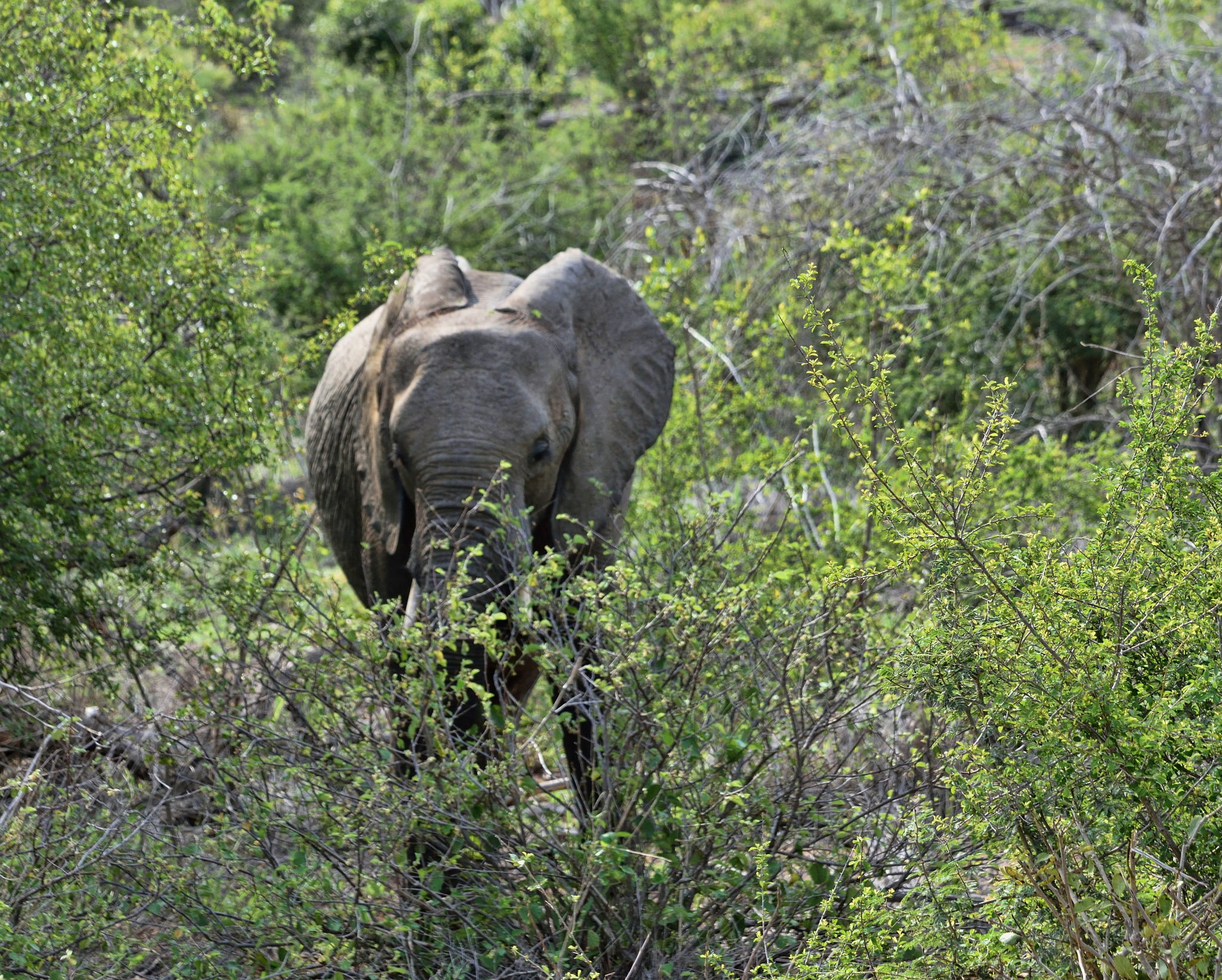 South Africa - Kruger Park (190) African Elephant by Derek Clarke