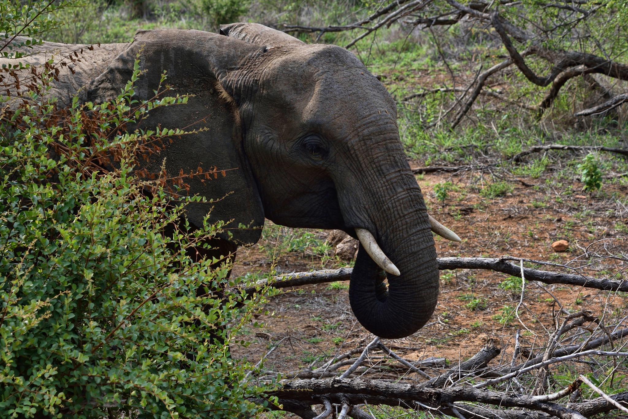 South Africa - Kruger Park (203) African Elephant by Derek Clarke