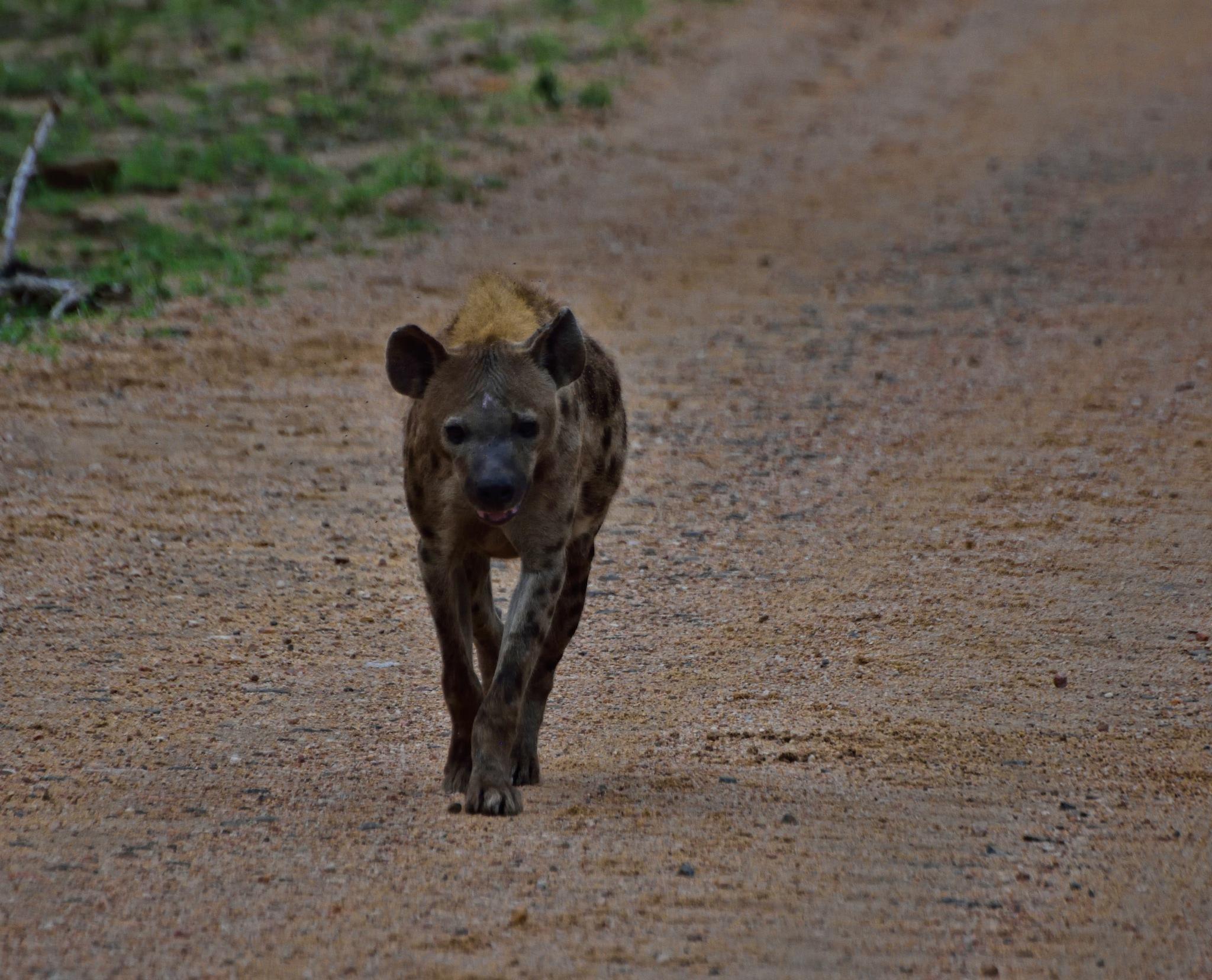 South Africa - Kruger Park (285) Spotted Hyena by Derek Clarke