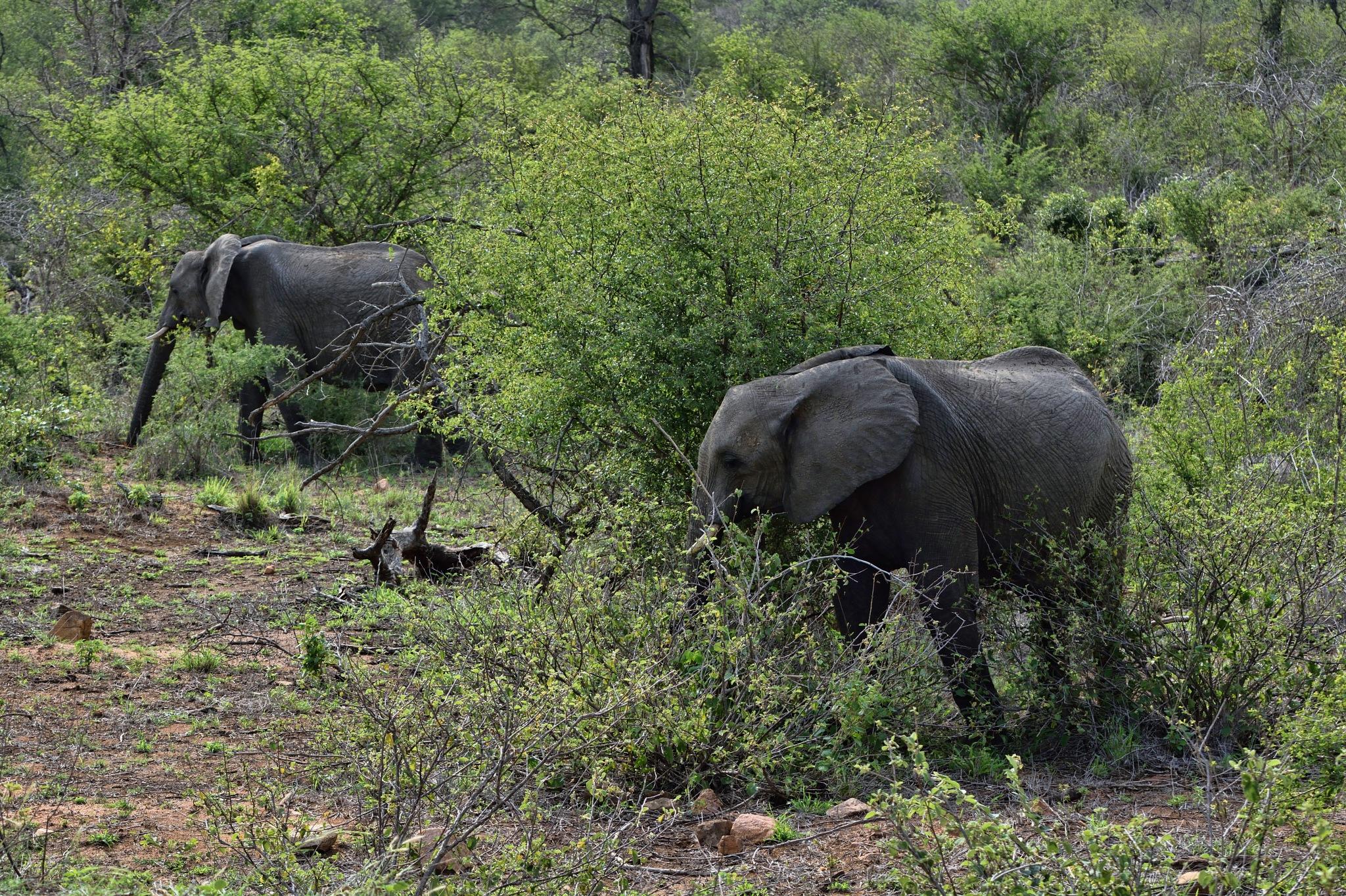 South Africa - Kruger Park (193) African Elephant by Derek Clarke