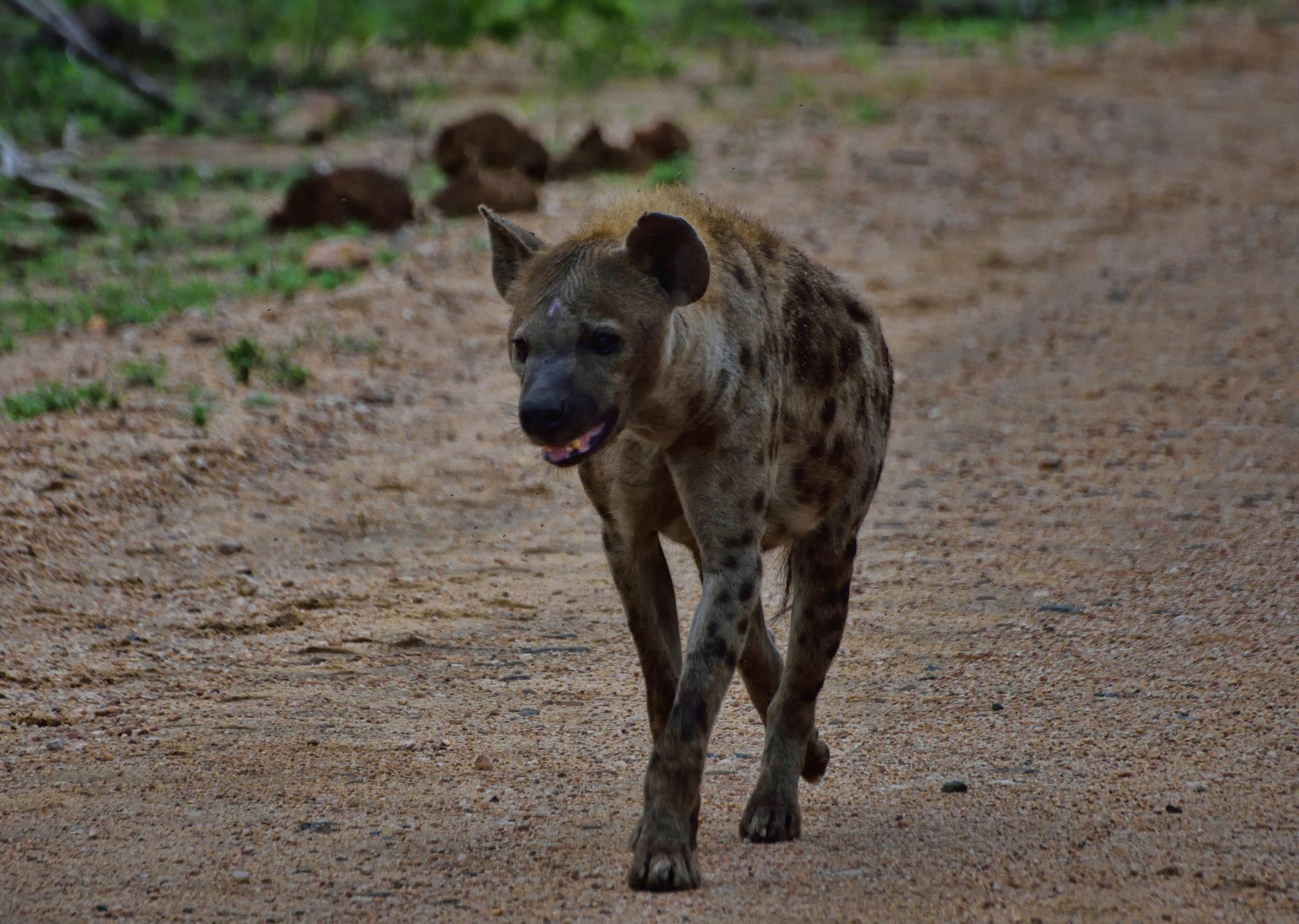 South Africa - Kruger Park (283) Spotted Hyena by Derek Clarke