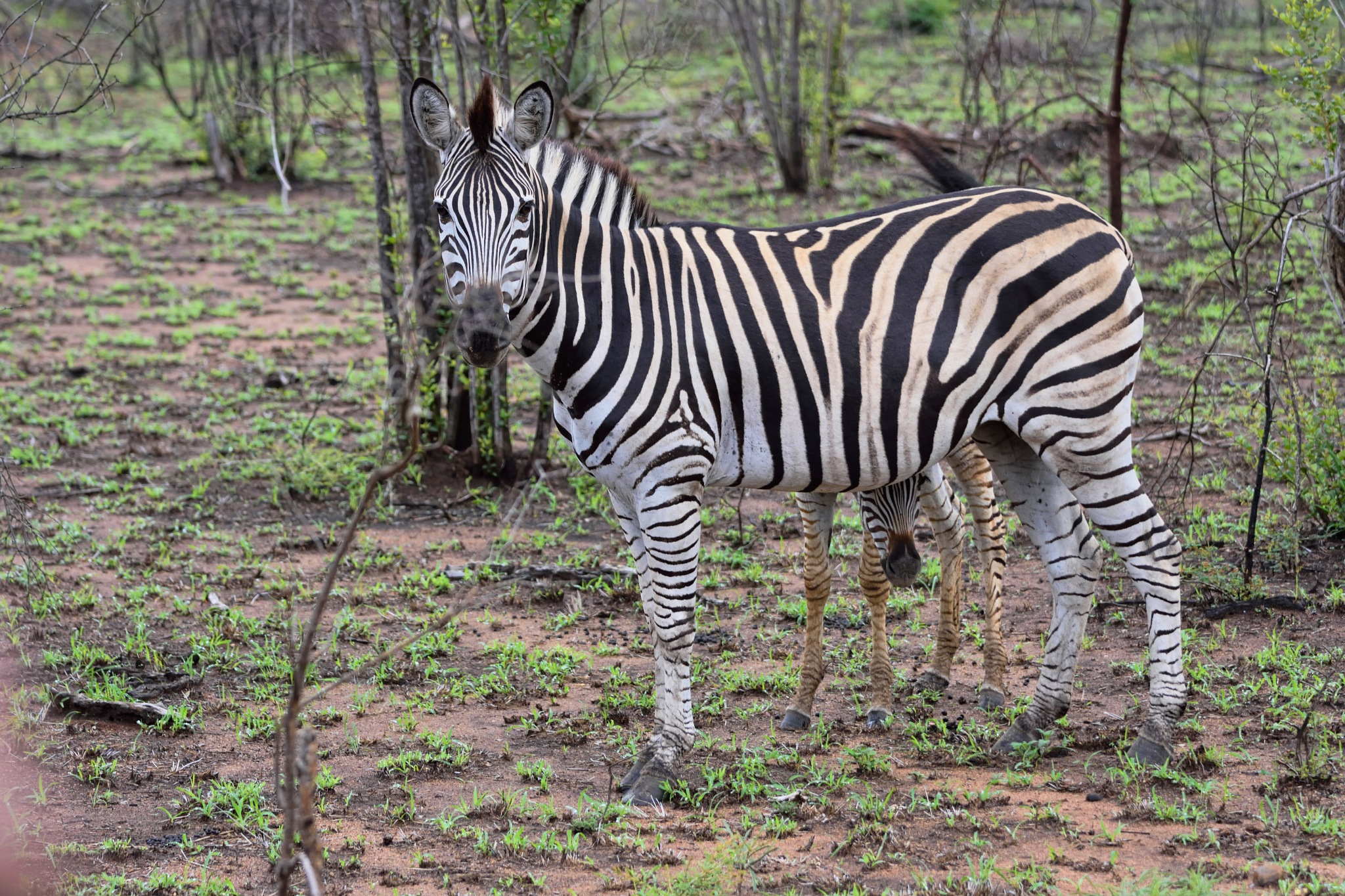 South Africa - Kruger Park (278) Burchell's Zebra by Derek Clarke