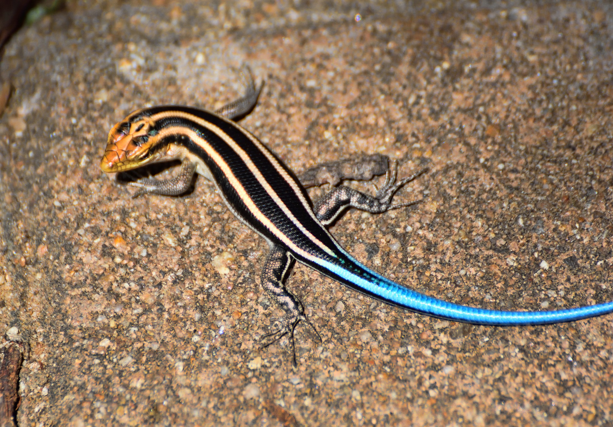 South Africa - Animals (454) Blue-tailed Skink by Derek Clarke
