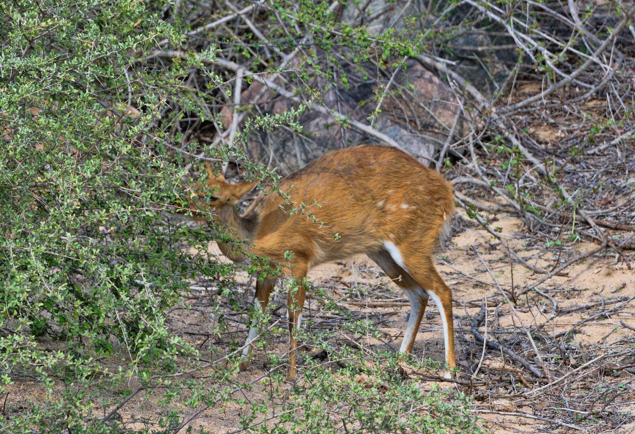 South Africa - Kruger Park (182) Sharpe's Grybok by Derek Clarke